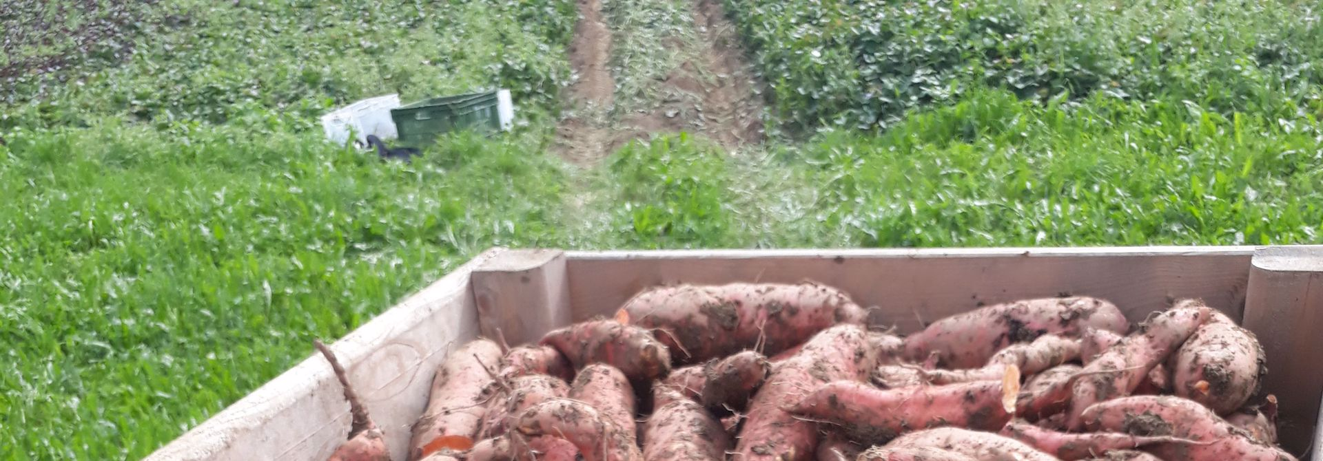 Die richtige Behandlung der Su00fcsskartoffeln nach der Ernte ist entscheidend>