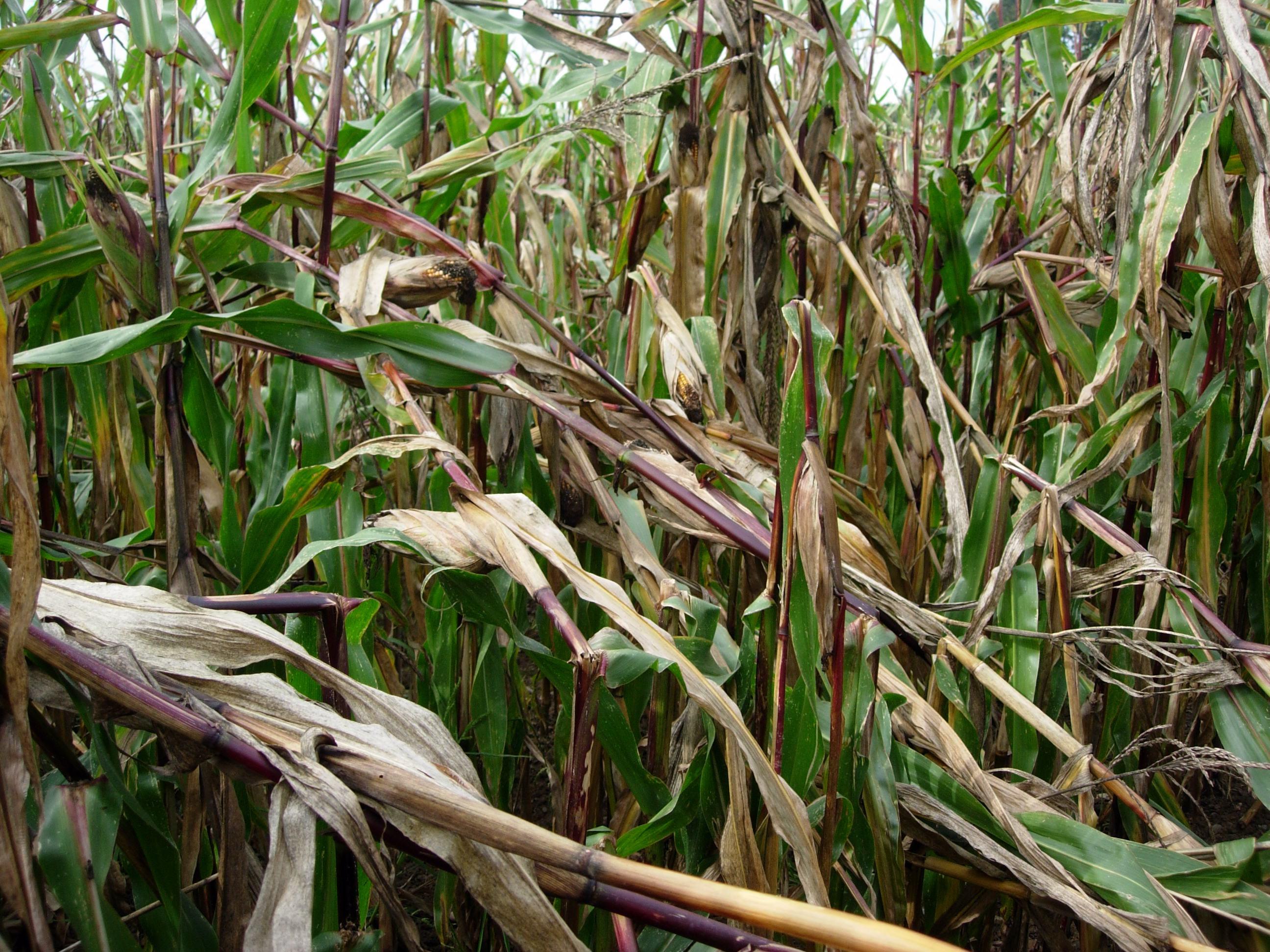 Starker Befall durch Maiszünsler: die Pflanzen knicken und liegen quer
