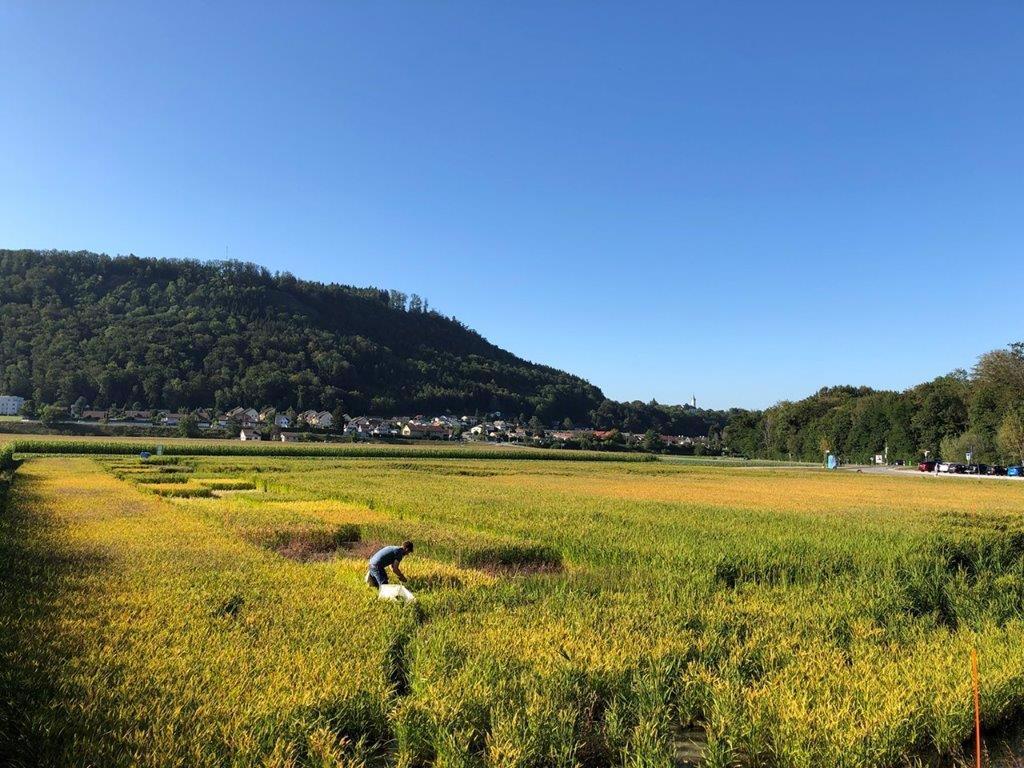 Reissortenversuch im Wasserschlos im Kanton Aargau