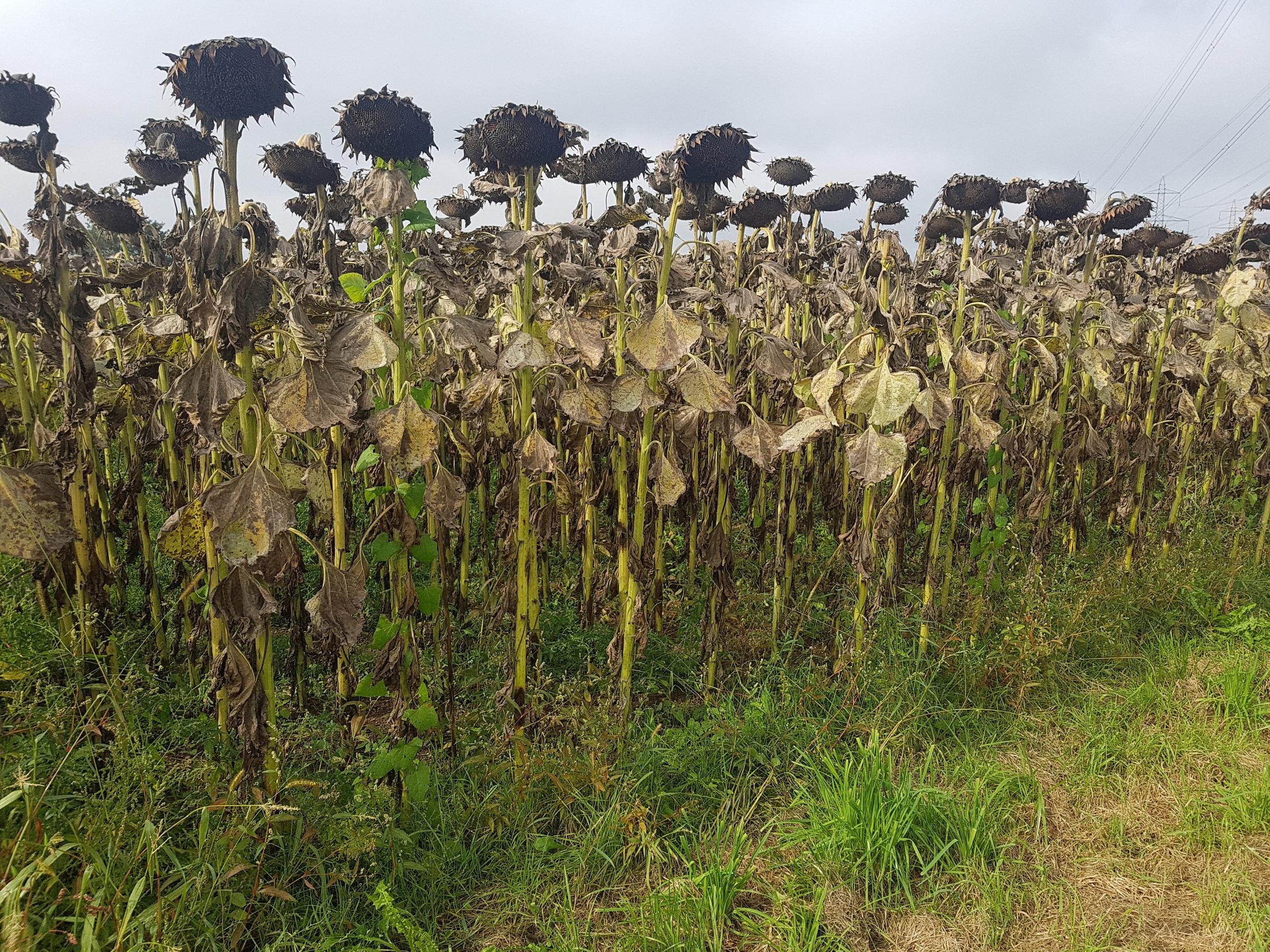 Sonnenblumen vor der Ernte