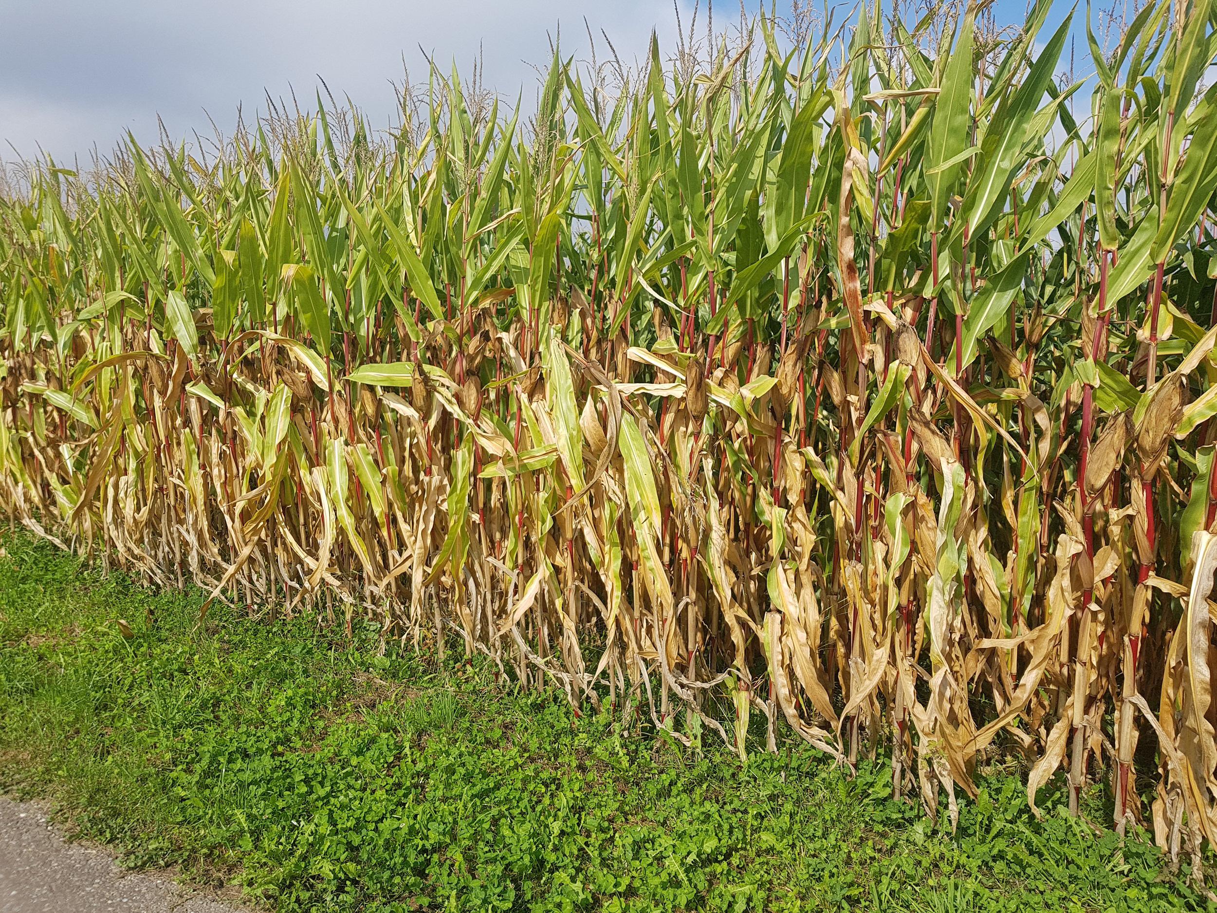 Vorerntekontrolle im Mais