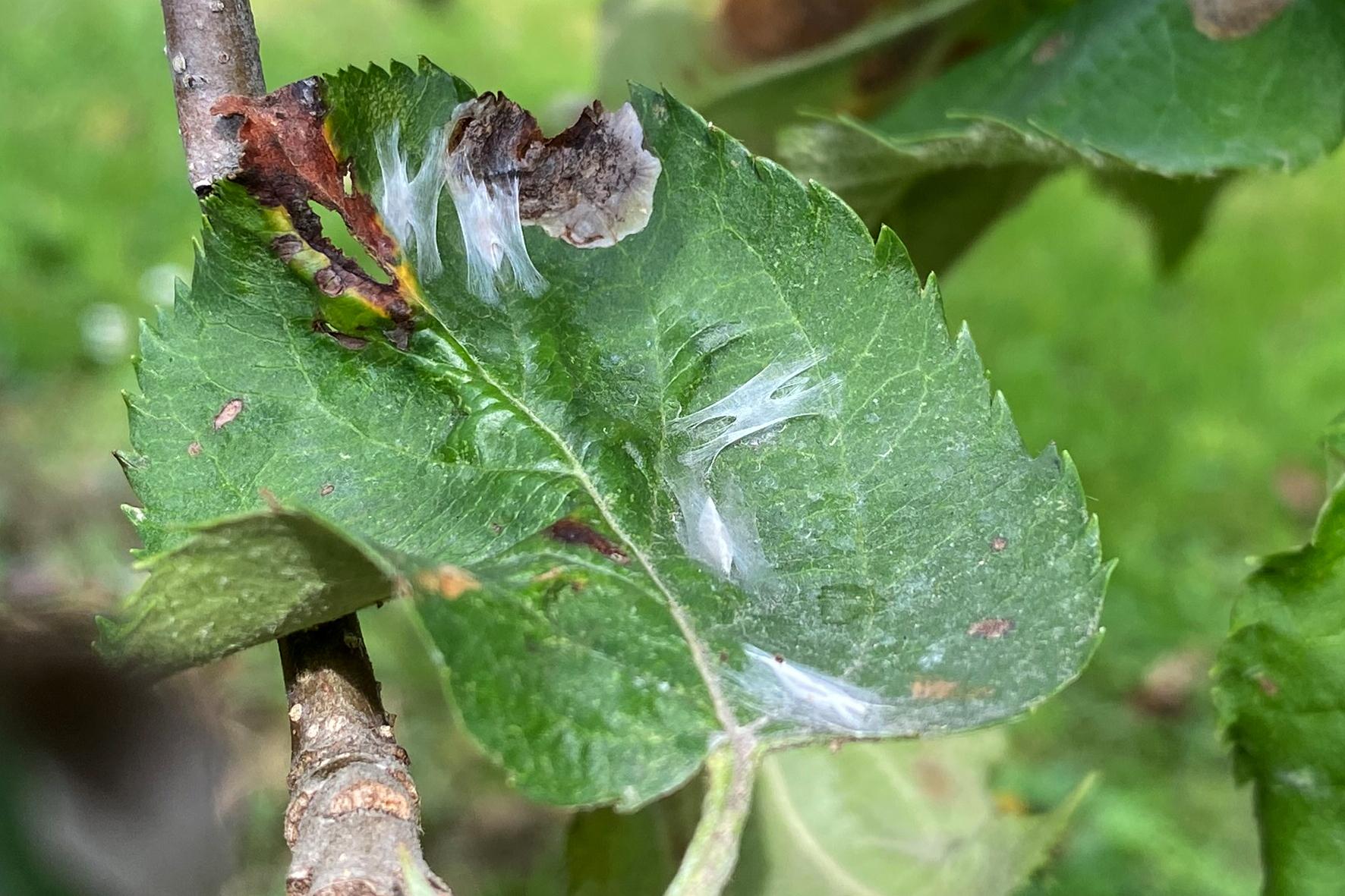 Die Larven der Fleckenminiermotte verpuppen sich auf dem Blatt, wo sie aus Gespinst eine kleine «Hängematte» bauen.