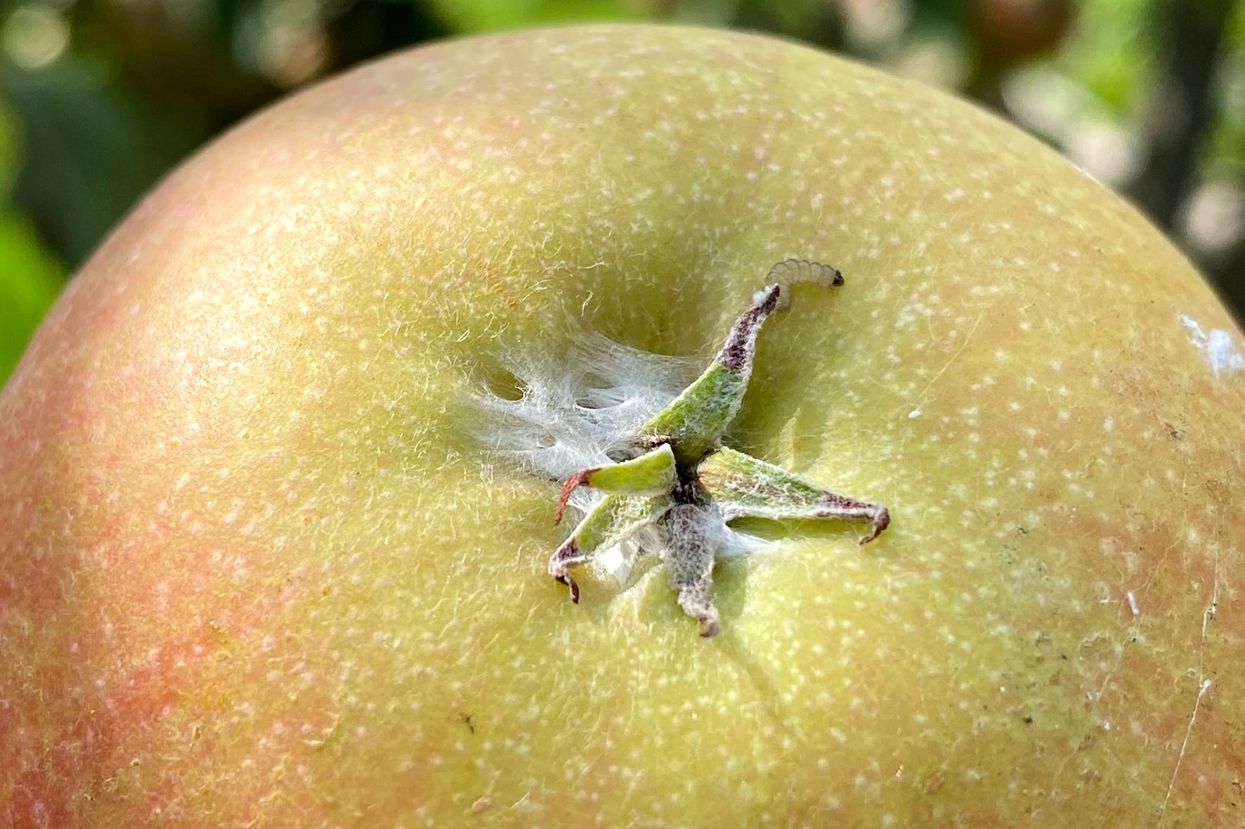 Die Verpuppung der Fleckenminiermotten erfolgt neben den Blättern auch in der Kelchgrube von Früchten oder an der Rinde der Bäume.