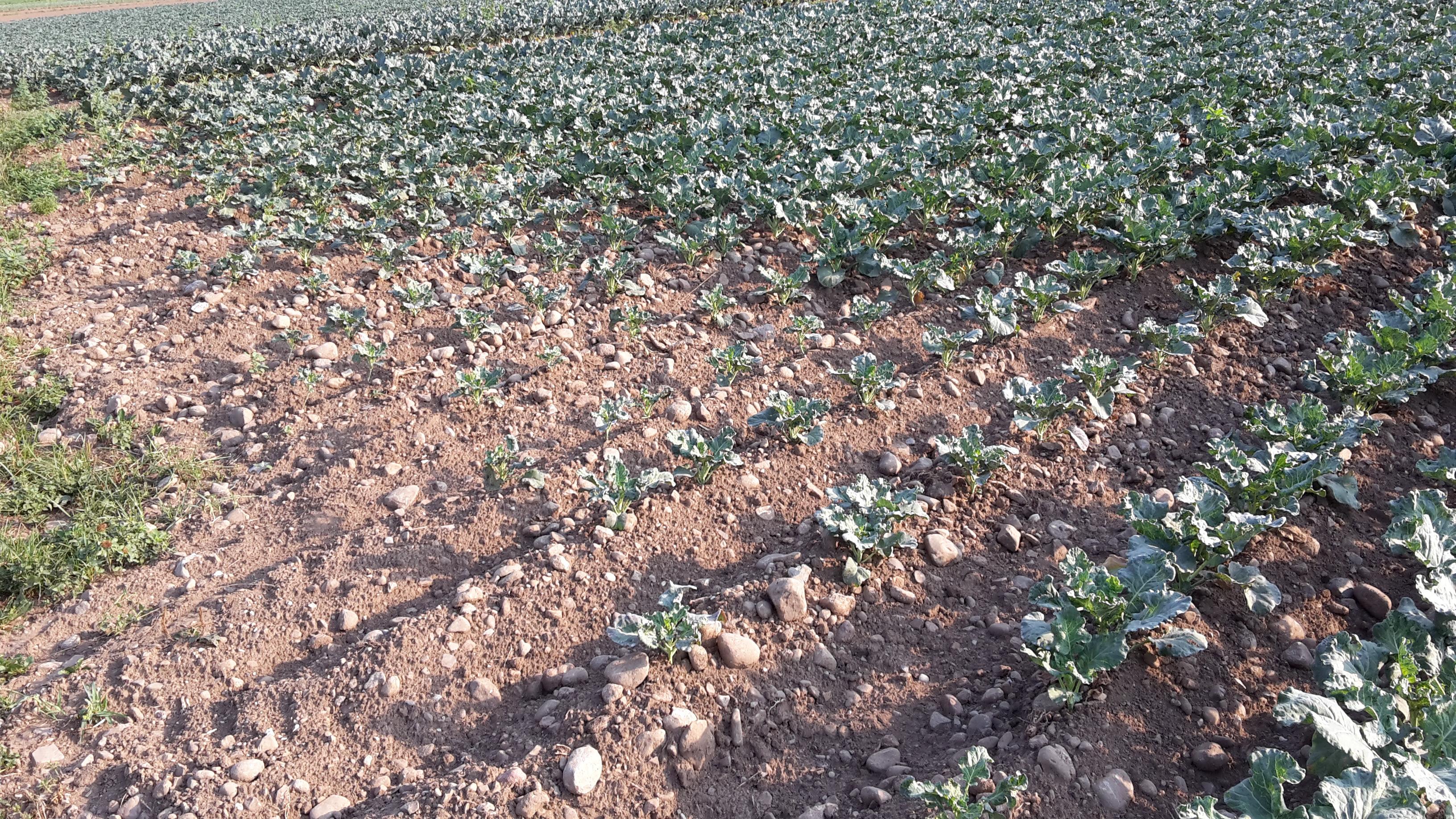Die Bewässerung entscheidet momentan über das Pflanzenwachstum. Reichen die Sprinkler nicht bis an den Feldrand wie hier, ist das Wachstum deutlich verzögert.