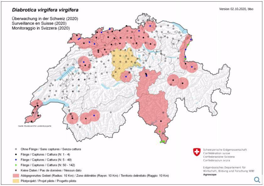 Maiswurzelbohrer-Situation 2020 in der Schweiz