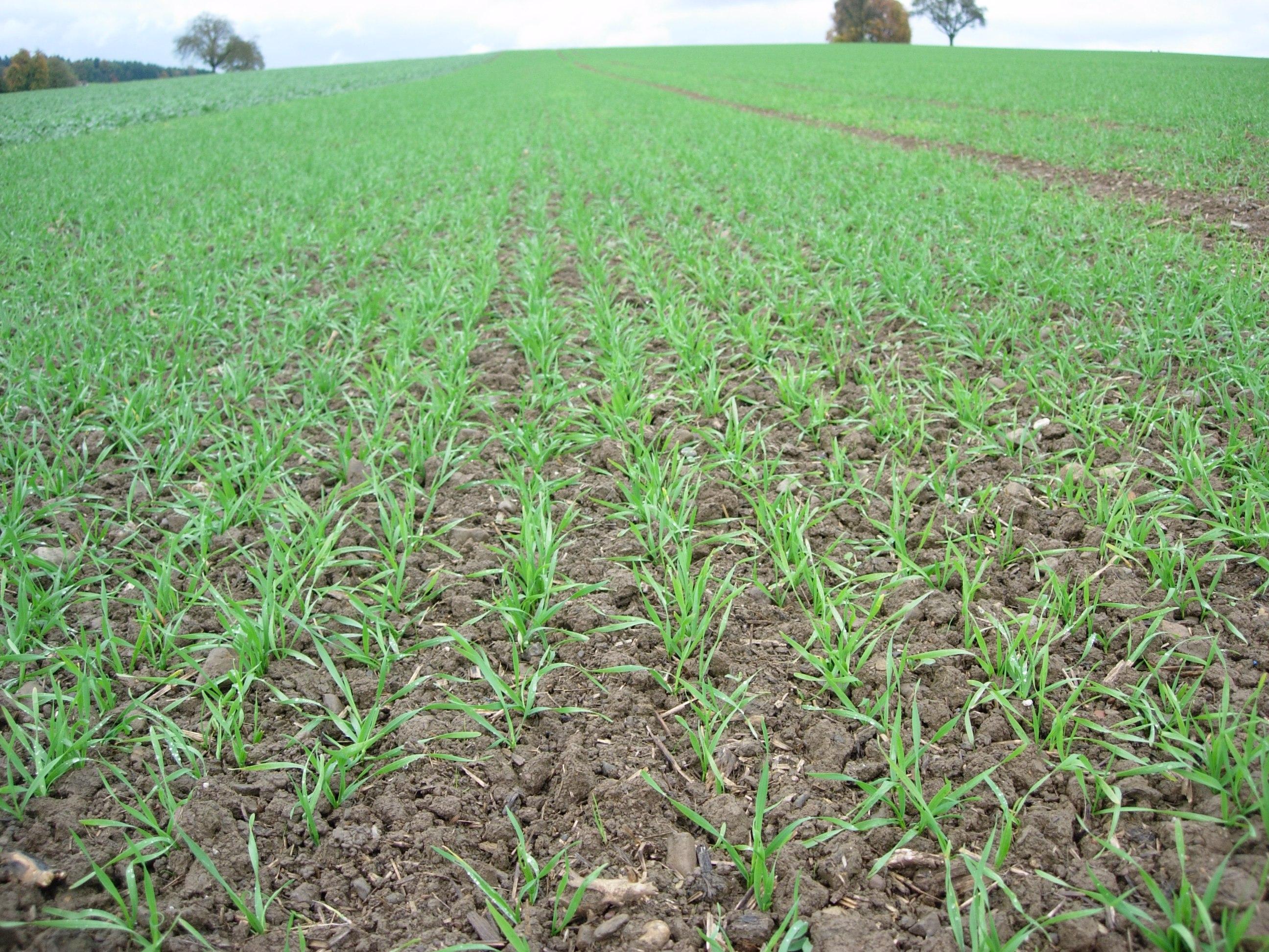 Bestockendes Getreide im Herbst vor Unkraut schützen