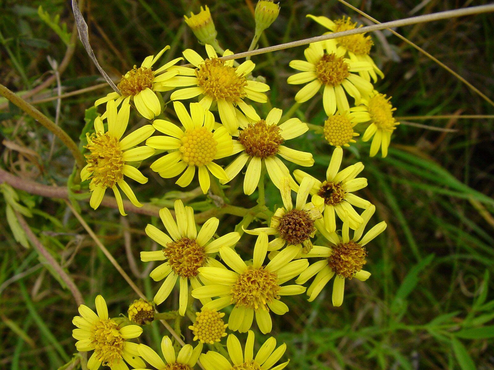 Kreuzkräuter sind mit ihren gelben Blüten eher unscheinbar.  Sie können leicht mit anderen Pflanzen wie z.B. der Kamille verwechselt werden.