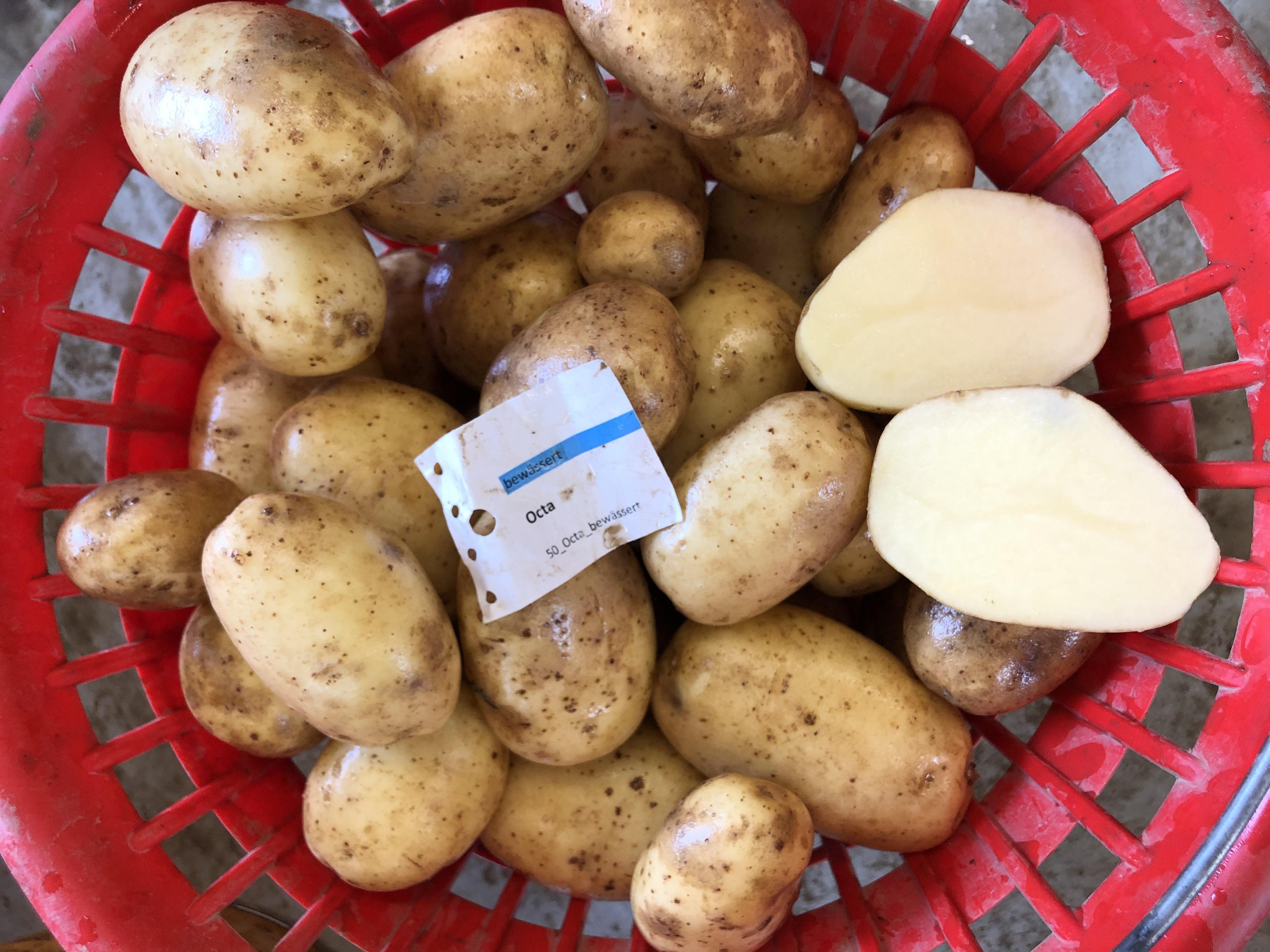 Waschprobe Kartoffelsorte