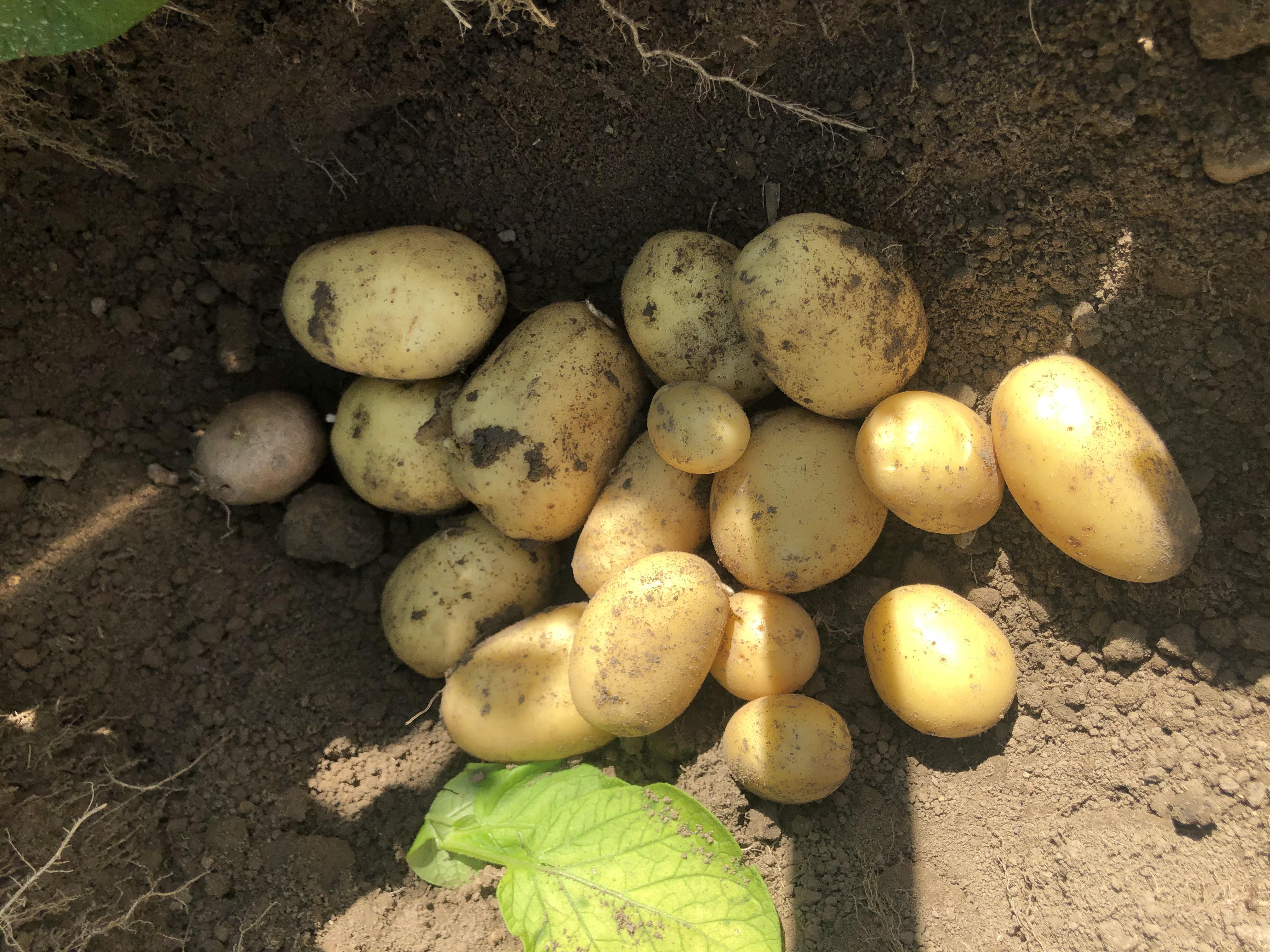 Probegrabung der Kartoffelsorte
