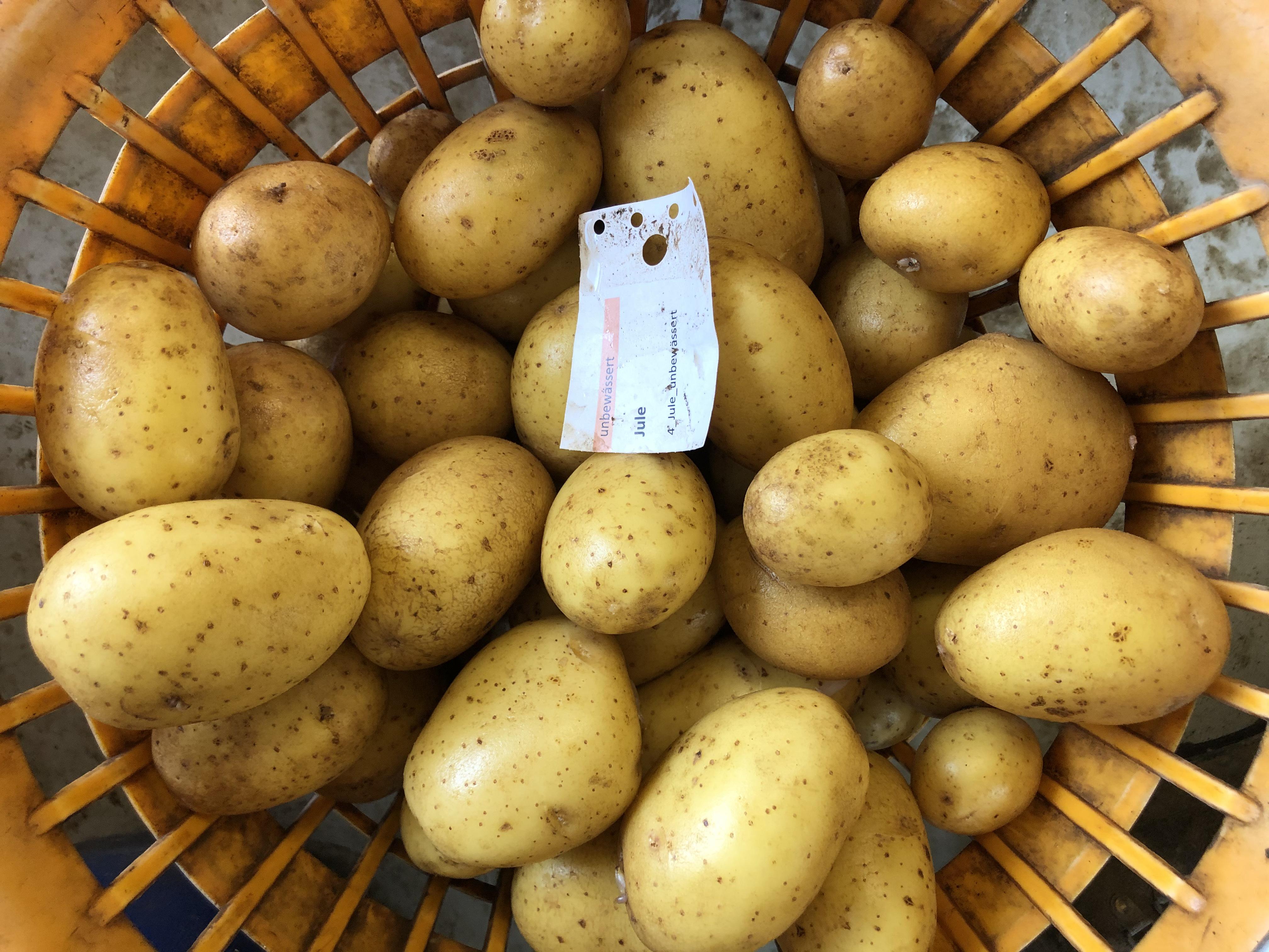Waschprobe der Kartoffelsorte