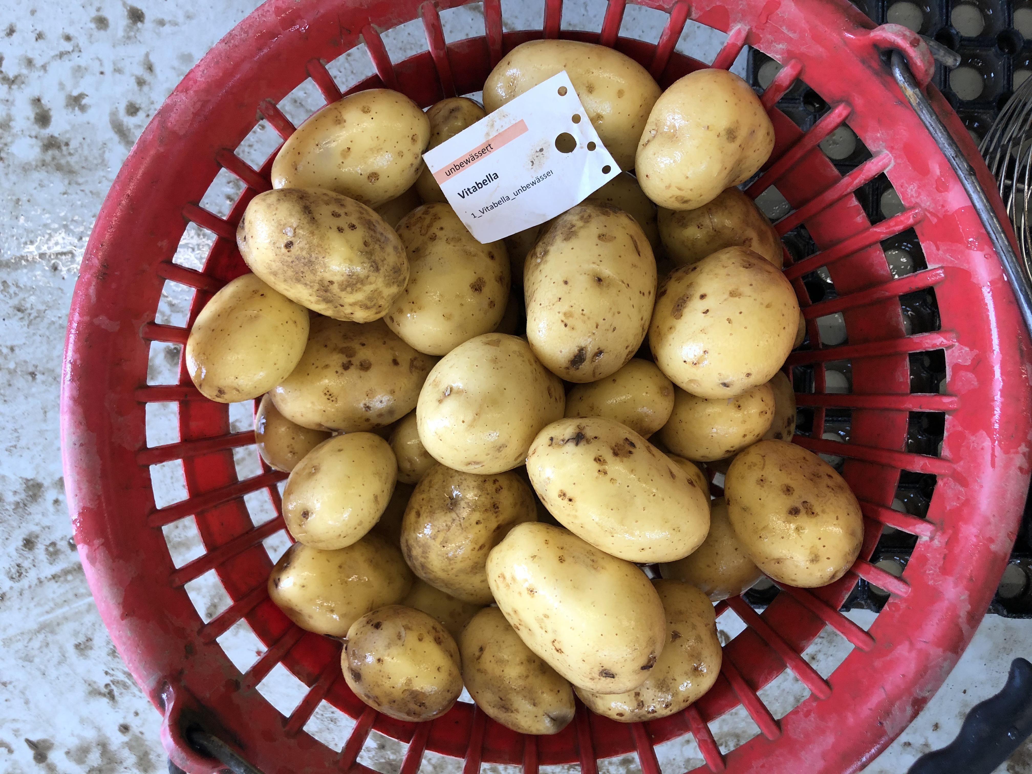 Waschprobe Sorte Vitabella Kartoffeln