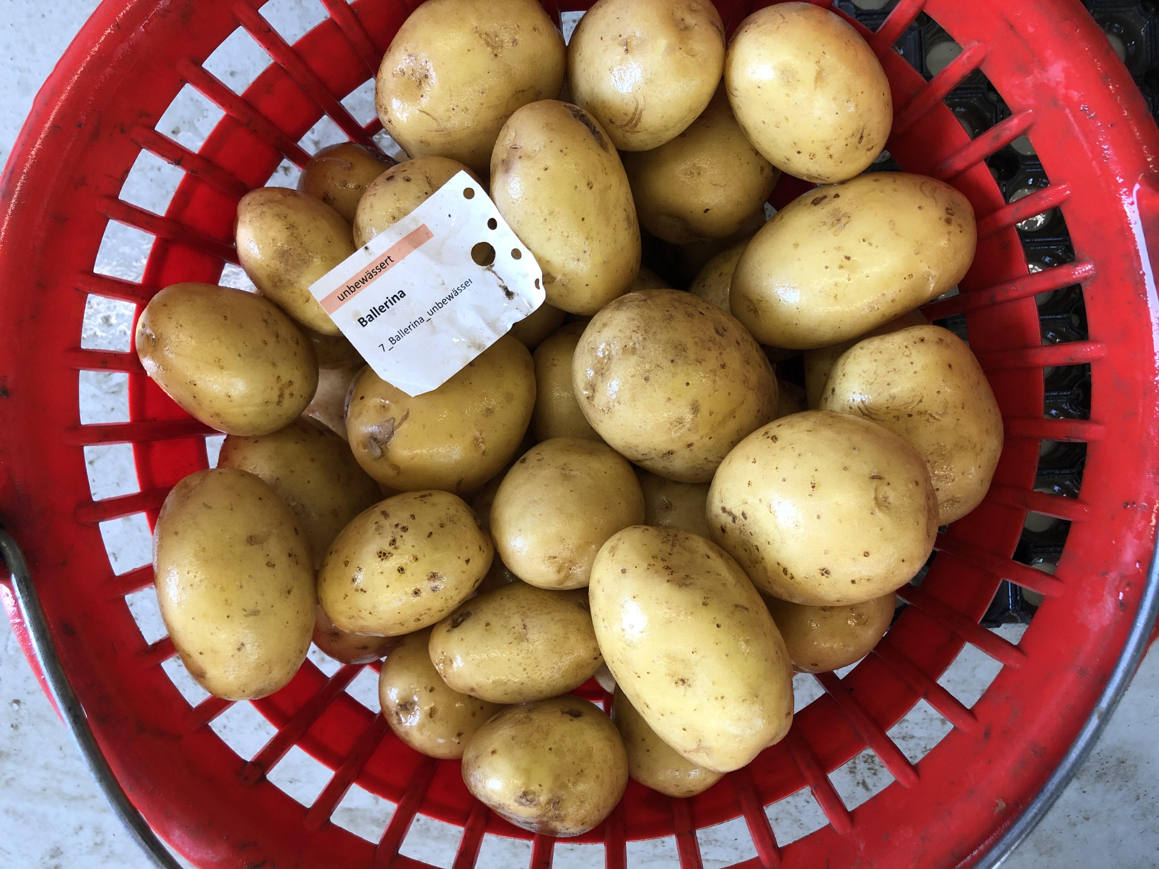 Waschprobe Sorte Ballerina Kartoffel Sortenversuch 2020 Humlikon