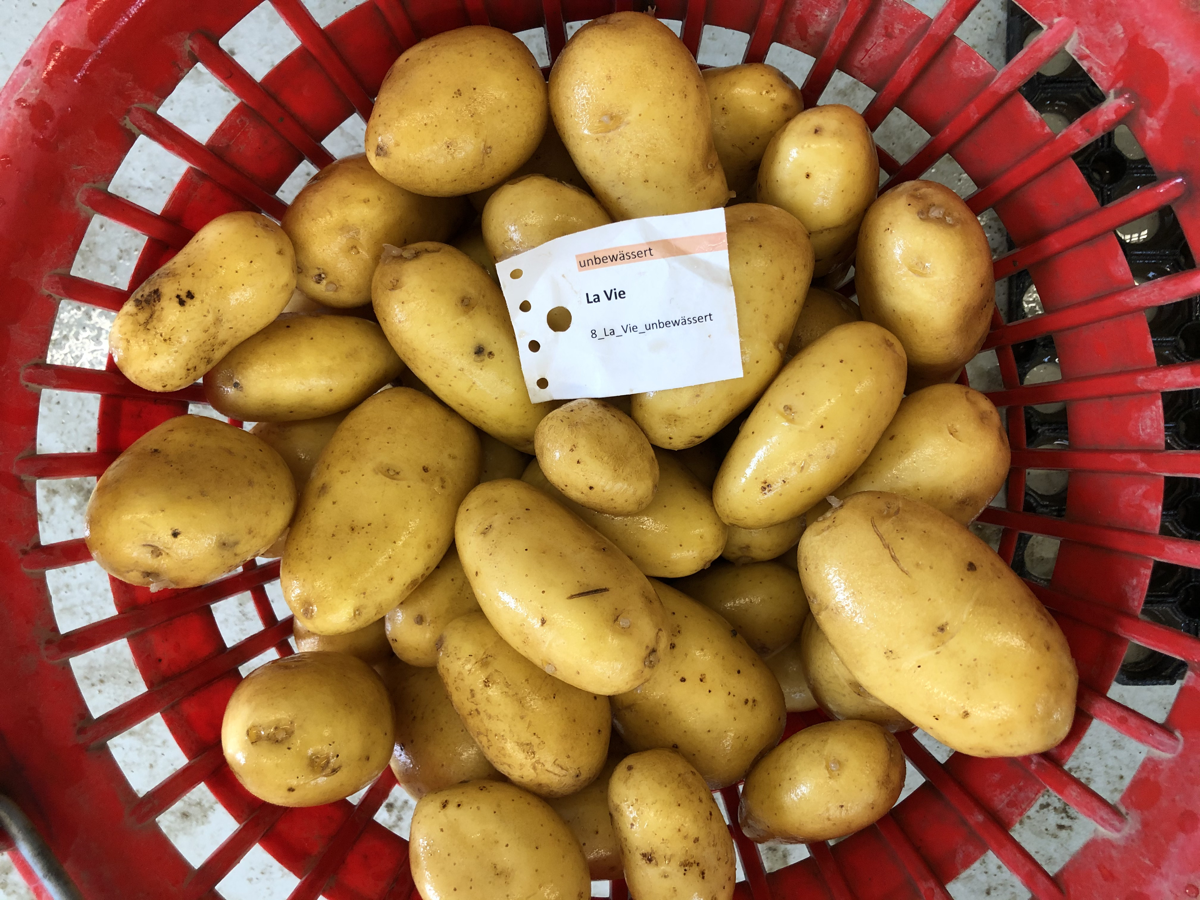 Waschprobe La Vie Kartoffel Sortenversuch Humlikon 2020