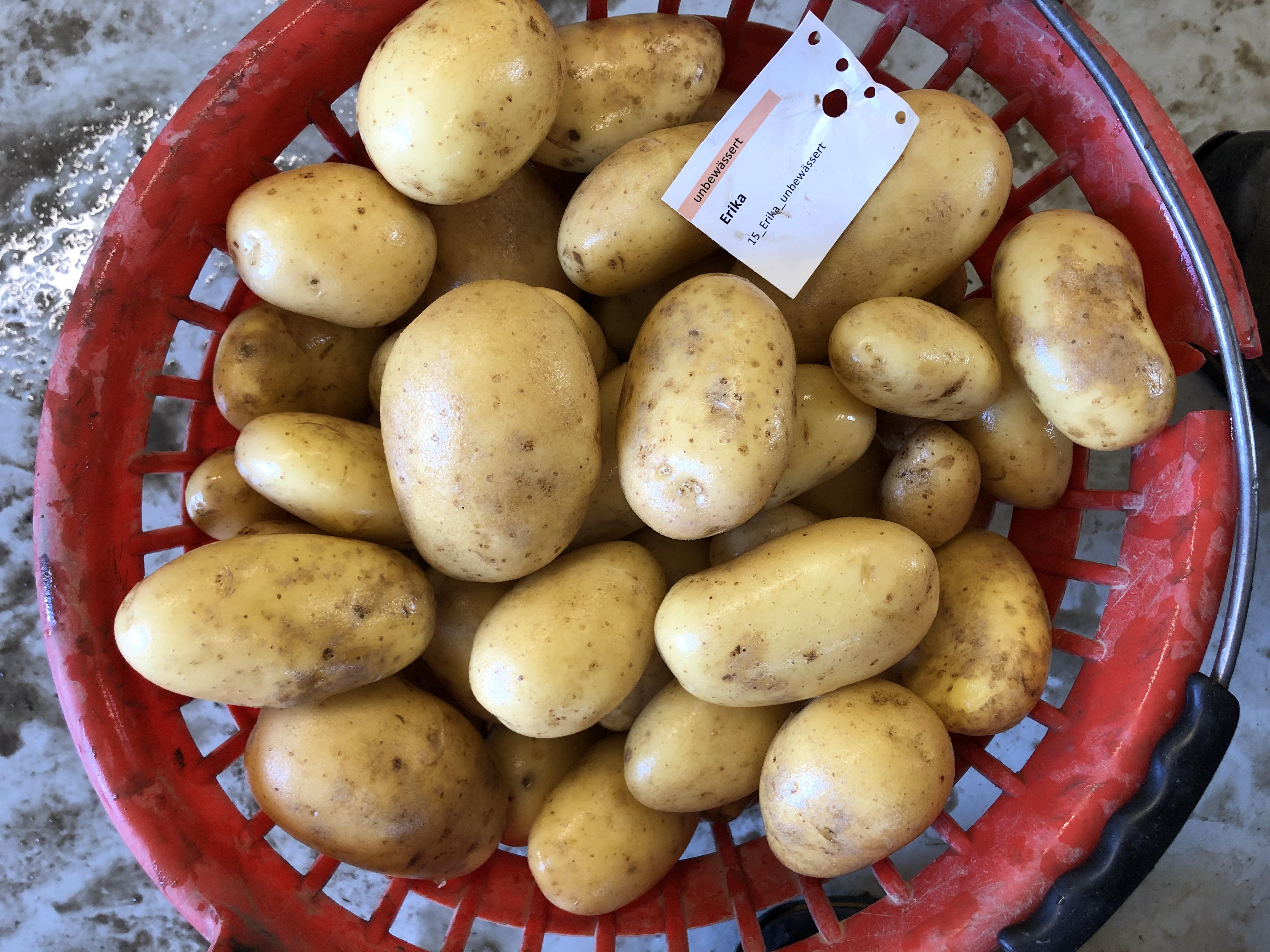 Waschprobe Sorte Erika, Sortenversuch Kartoffeln Humlikon 2020