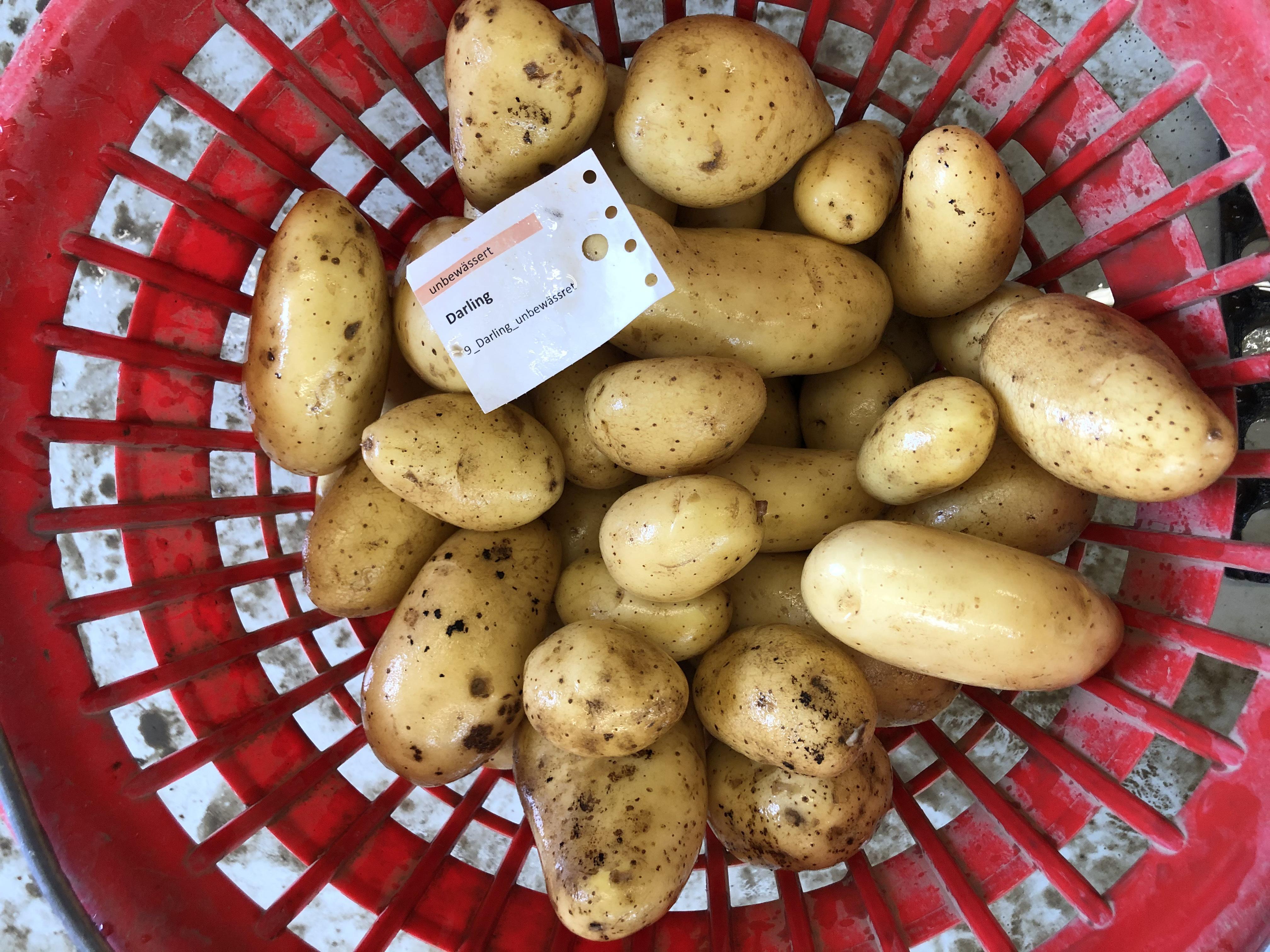 Waschprobe Sorte Darling Kartoffel Sortenversuch Humlikon 2020