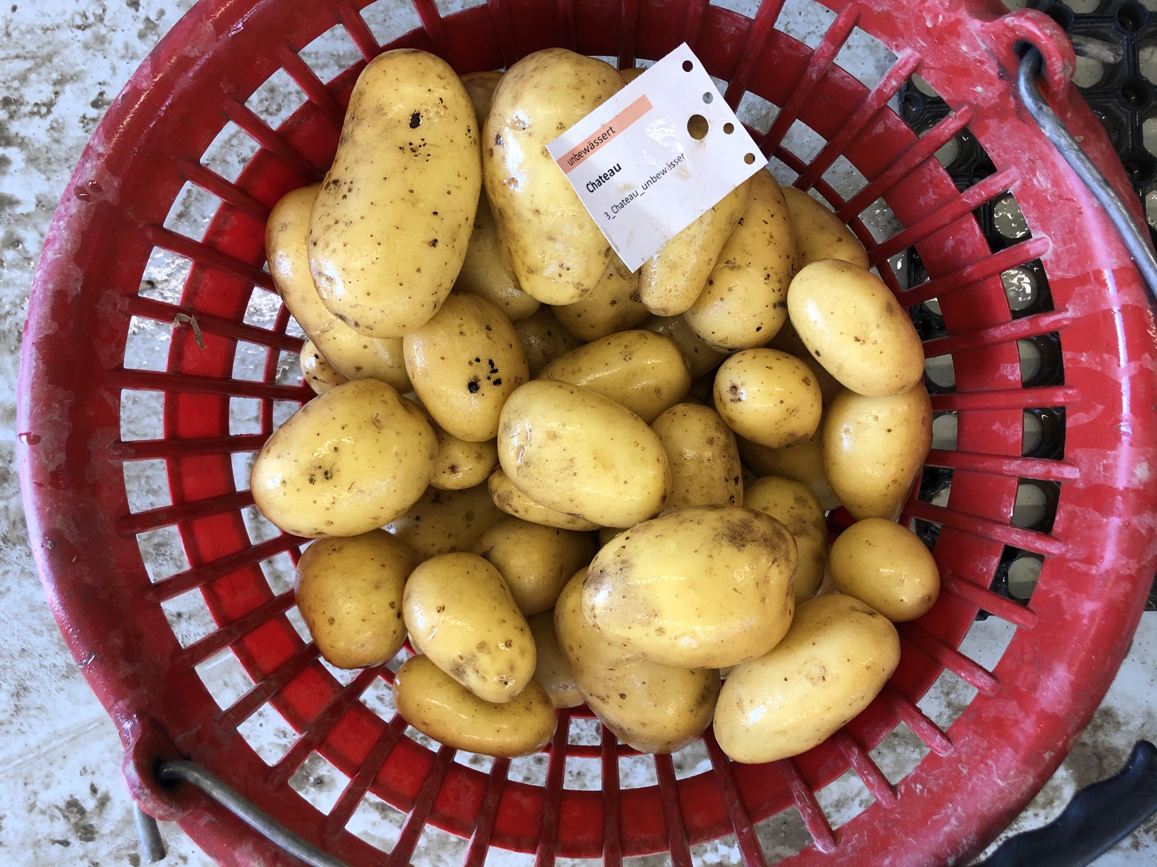Waschprobe Sorte Chateau, Sortenversuch Kartoffeln Humlikon 2020