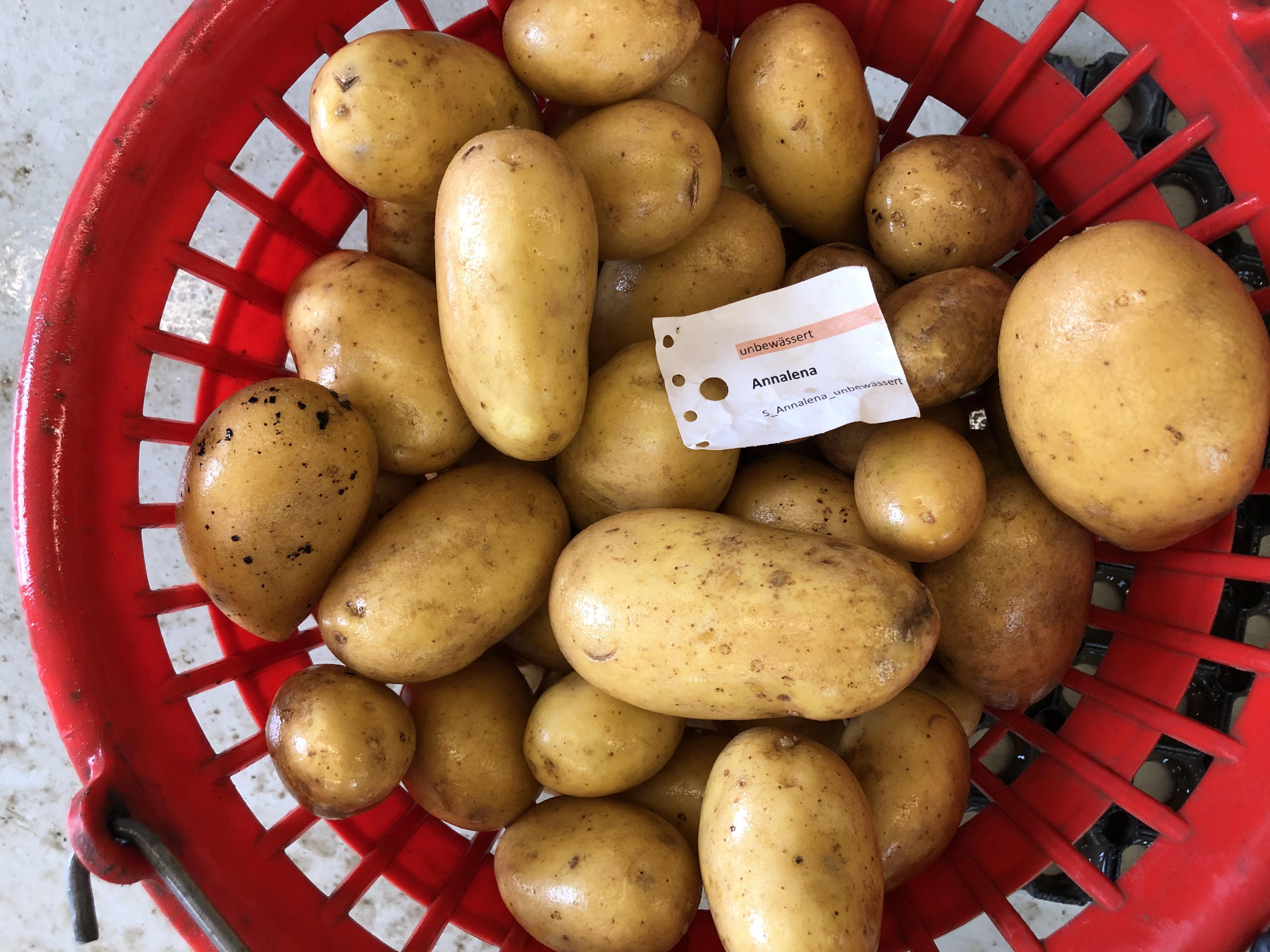 Waschprobe Sorte Annalena Kartoffel Sortenversuch 2020 Humlikon
