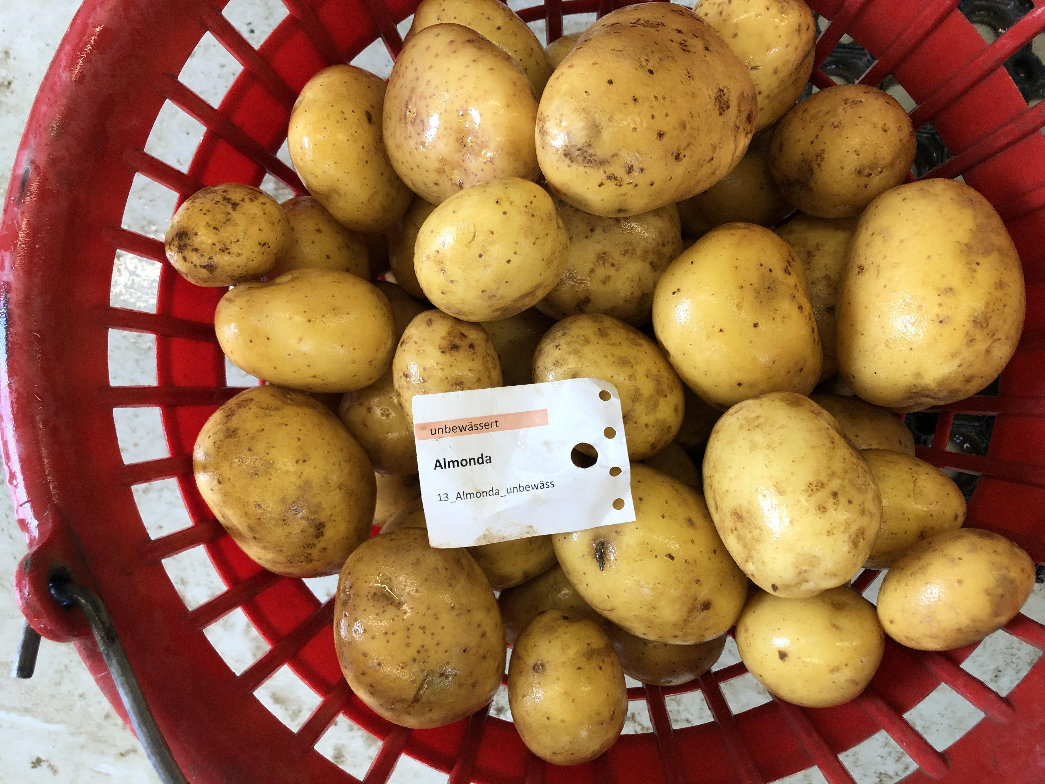 Waschprobe Sorte Almonda Sortenversuch Kartoffeln 2020 Humlikon