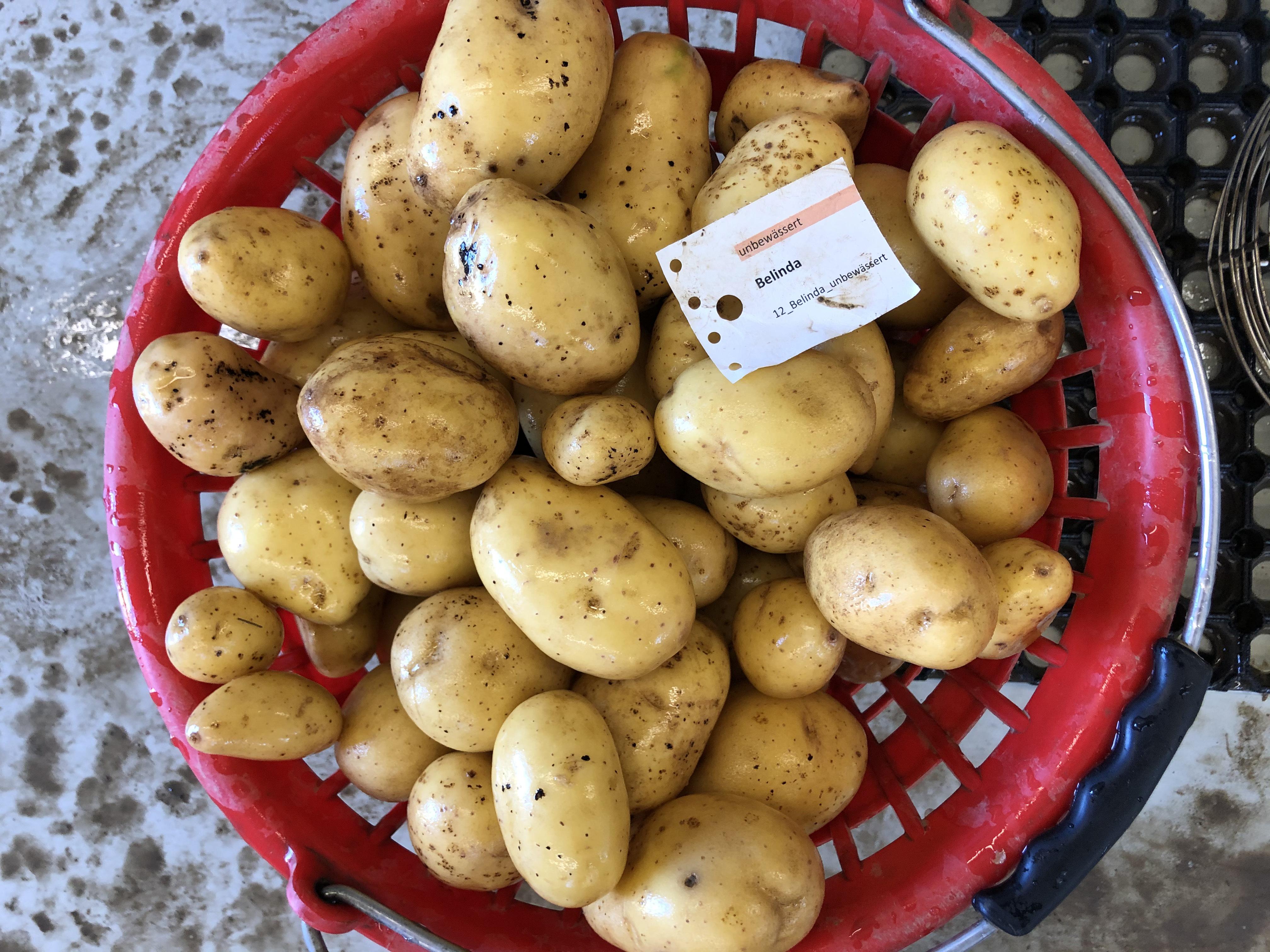 Waschprobe Sorte Bellinda, Sortenversuch Kartoffeln 2020 Humlikon