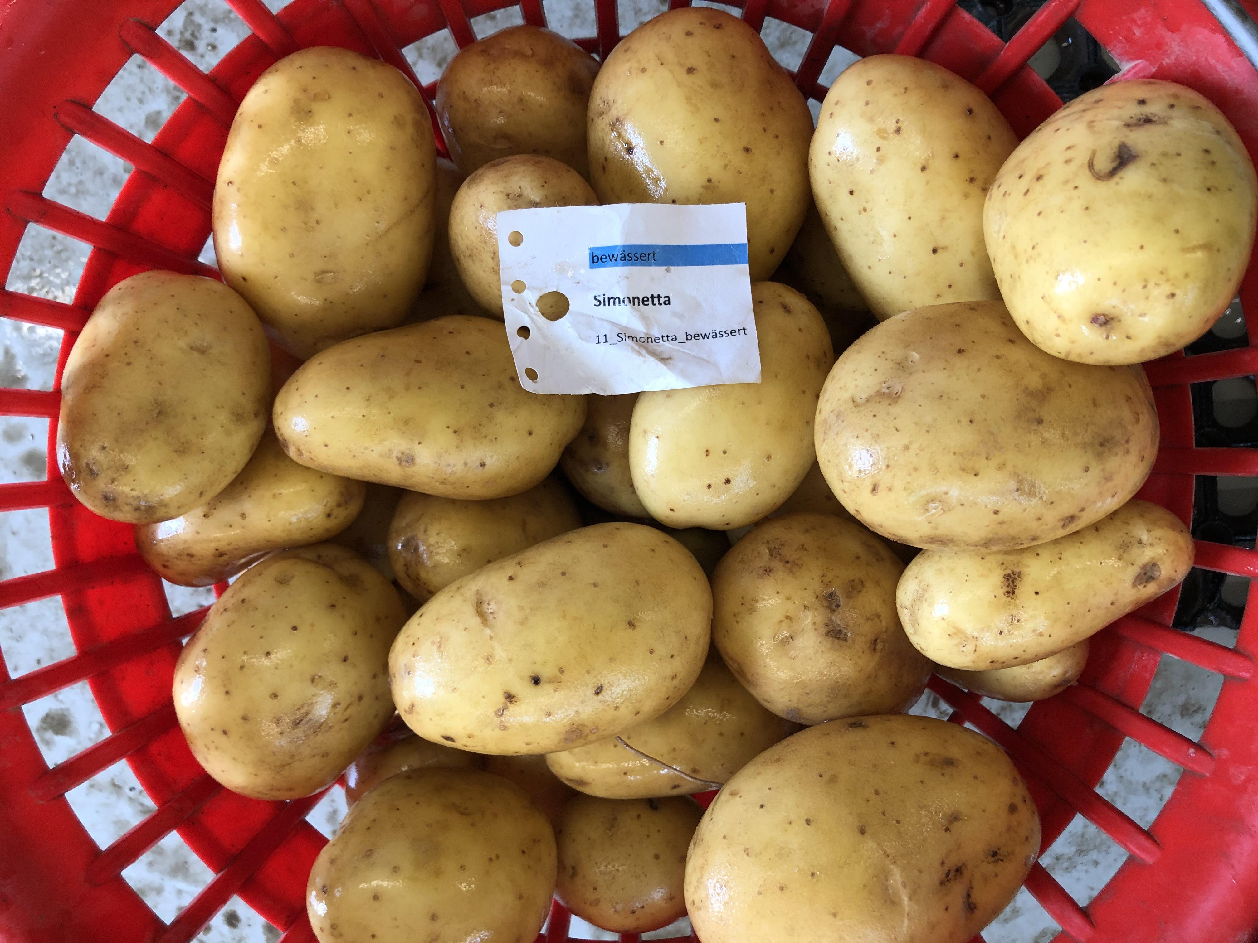Waschprobe Sorte Simonetta, Kartoffel Sortenversuch Humlikon 2020