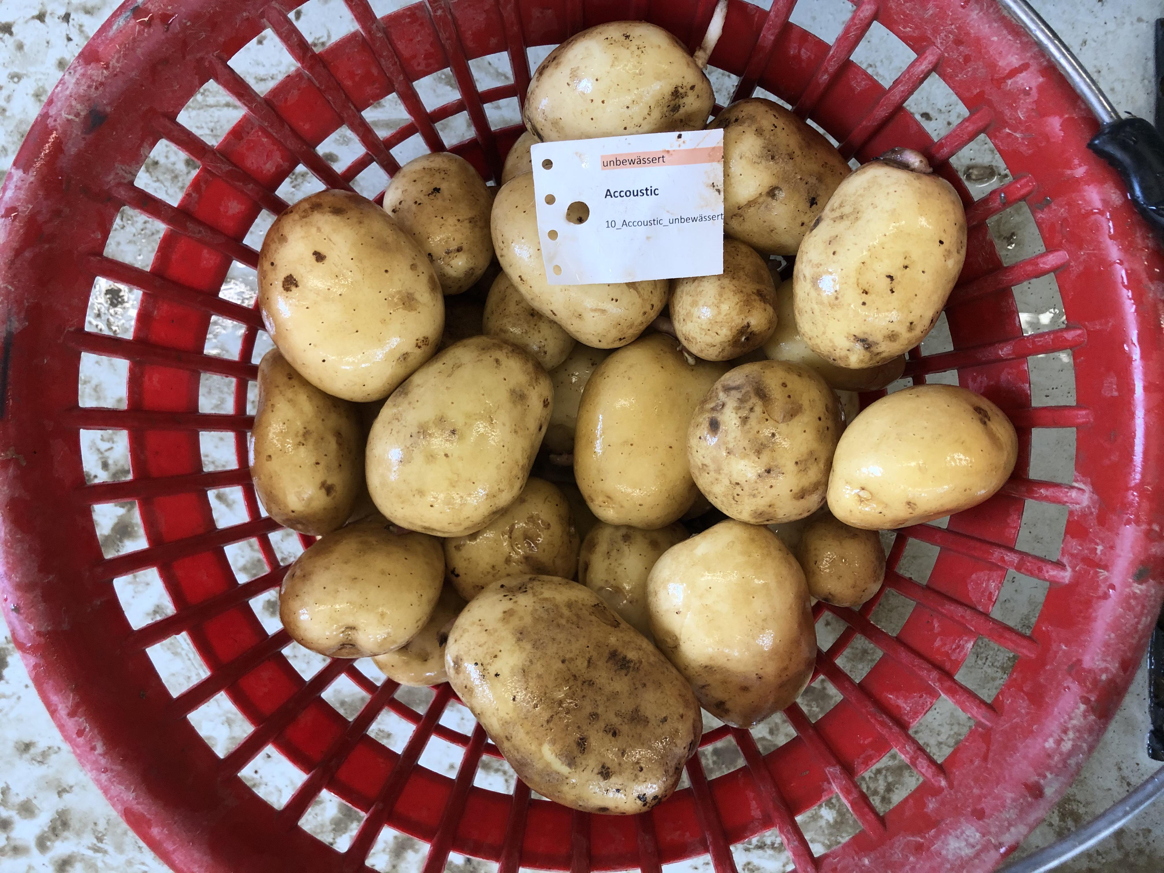 Waschprobe Sorte Accoustic, Kartoffel Sortenversuch 2020, Humlikon