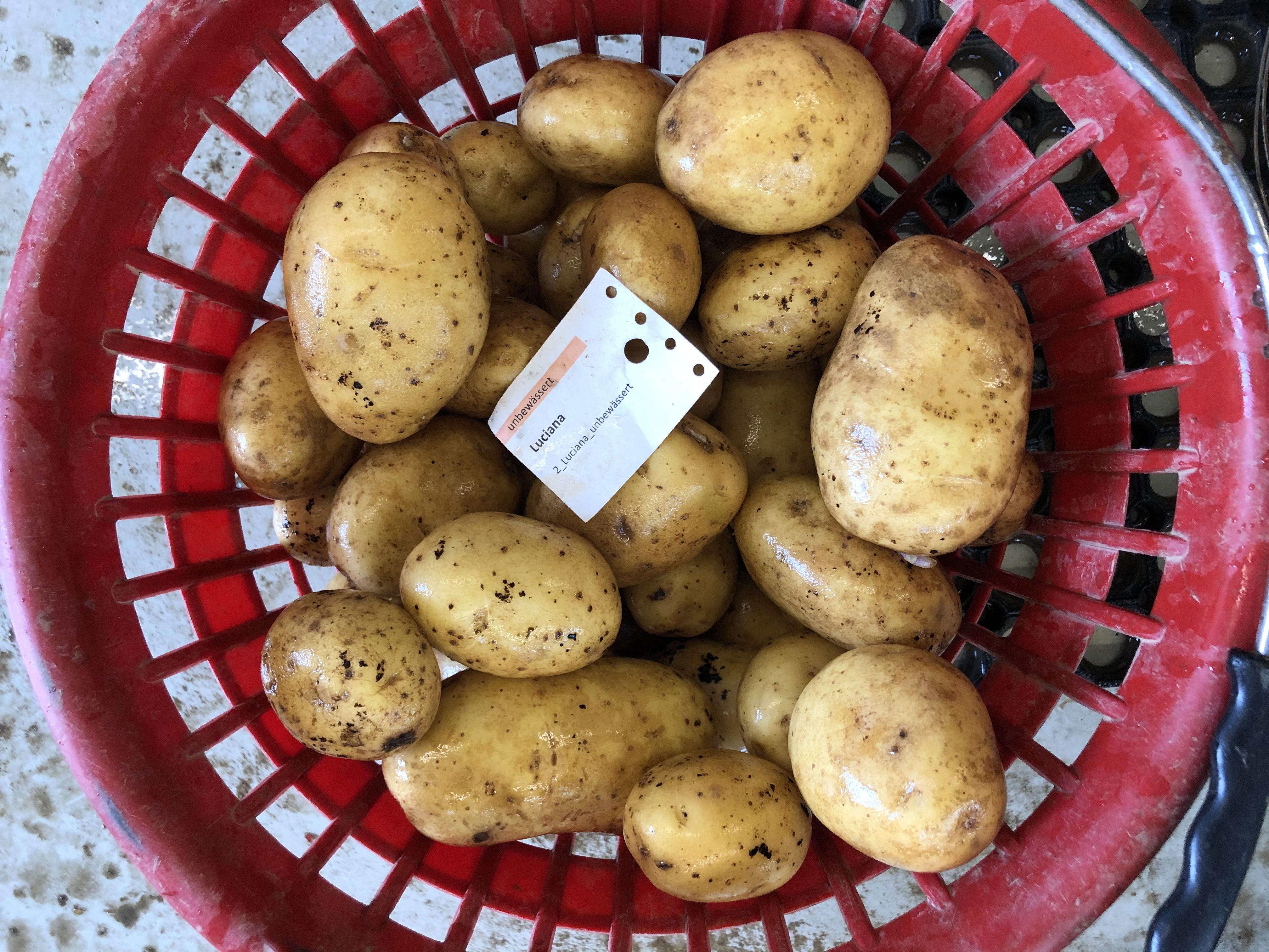 Waschprobe Sorte Luciana, Sortenversuch Kartoffeln Humlikon 2020