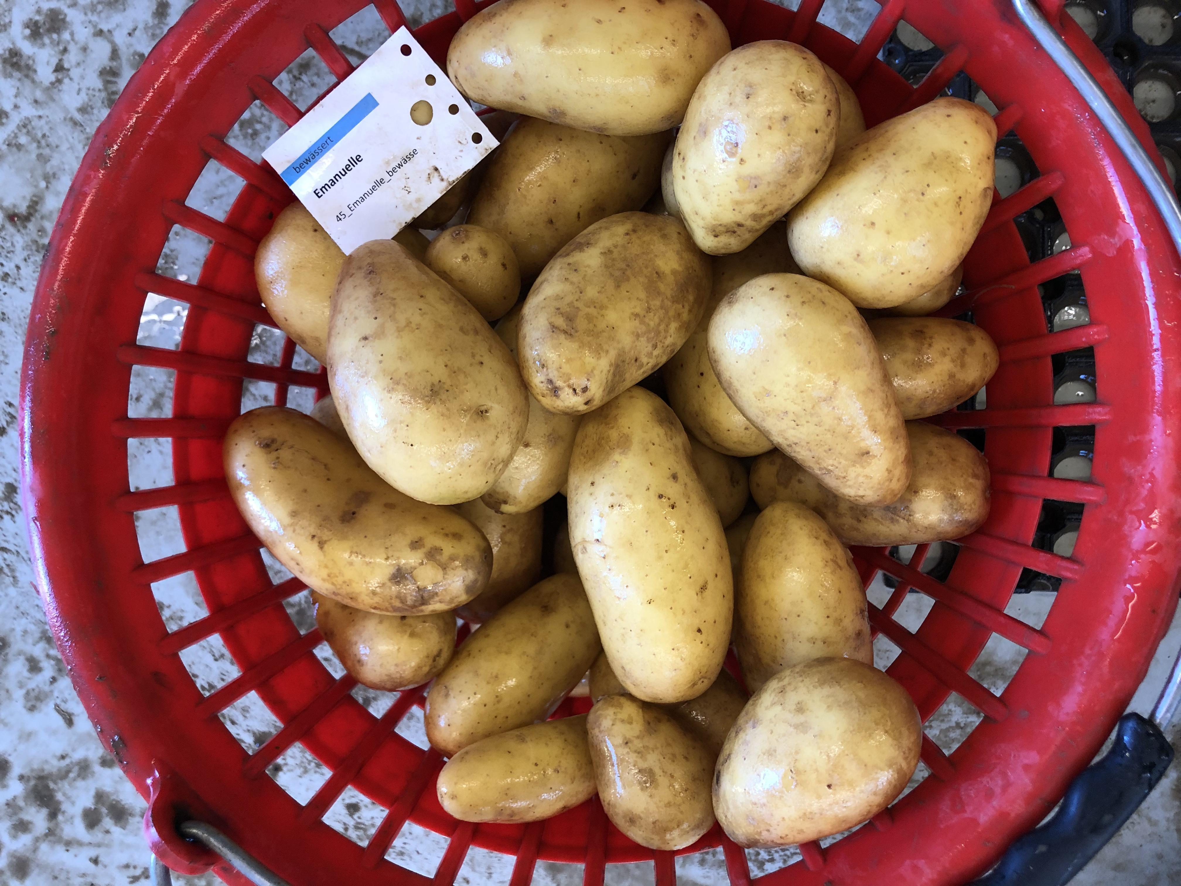 Waschprobe Emanuelle Sortenversuch Kartoffeln 2020 Humlikon