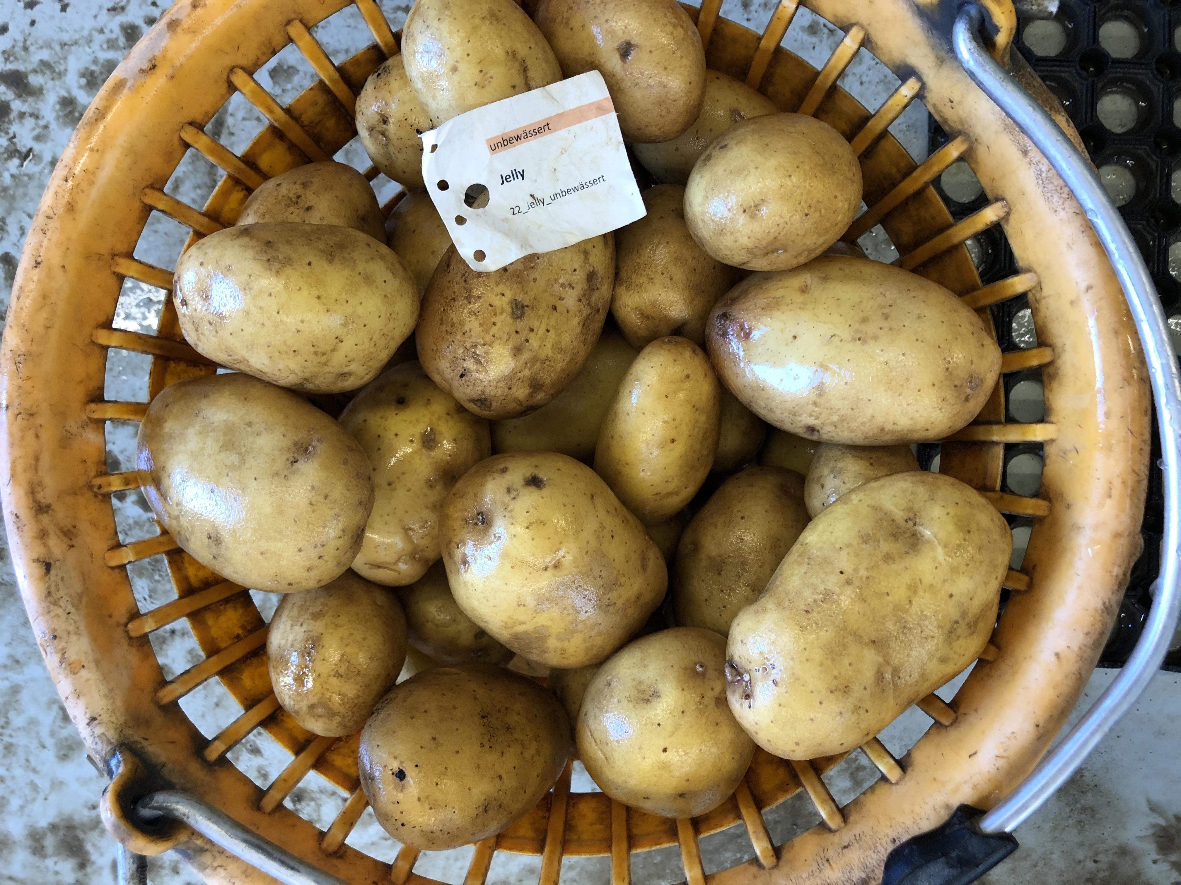 Waschprobe Sorte Jelly Kartoffel Sortenversuch Humlikon 2020