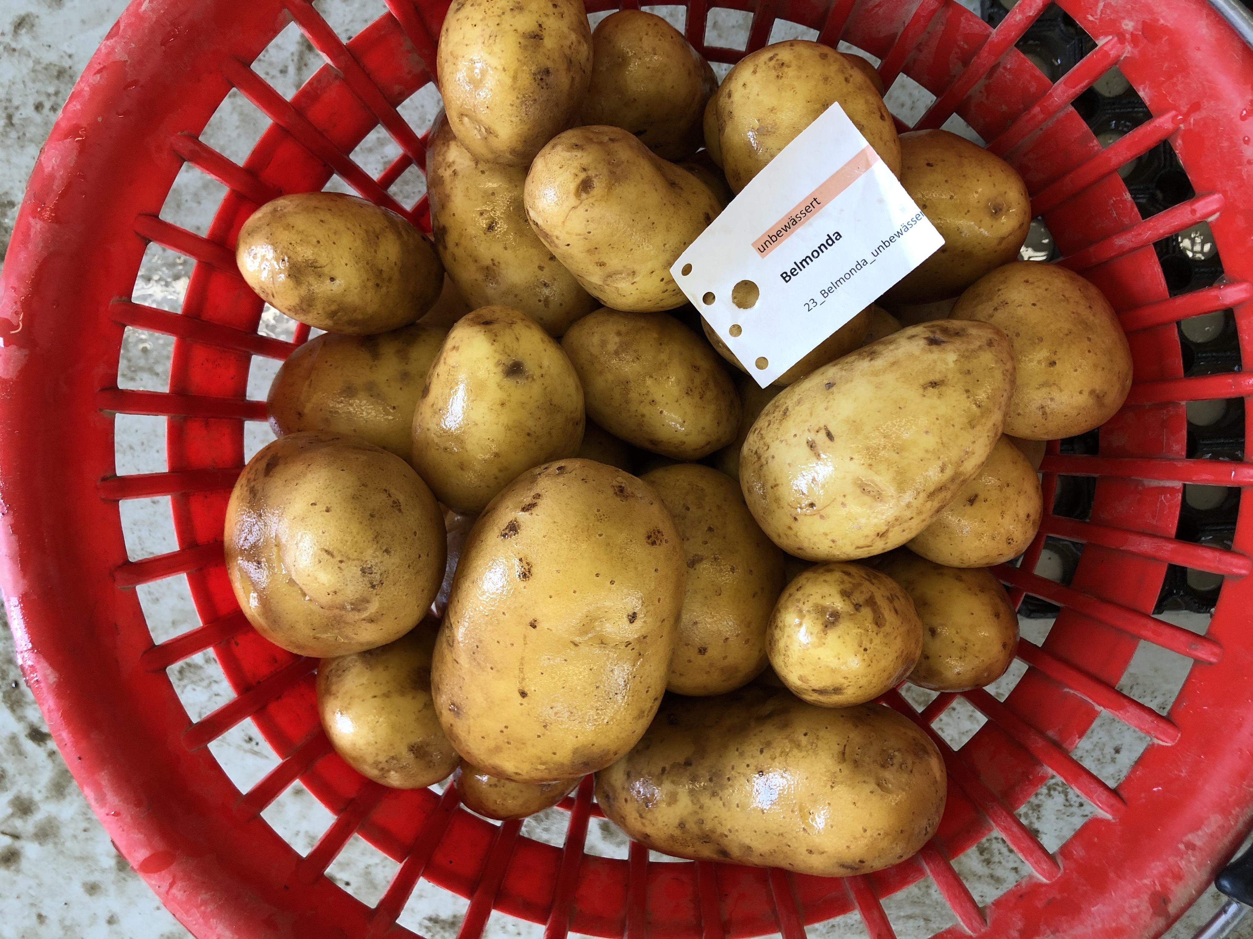 Waschprobe Sorte Belmonda, Sortenversuch Kartoffeln, Humlikon 2020