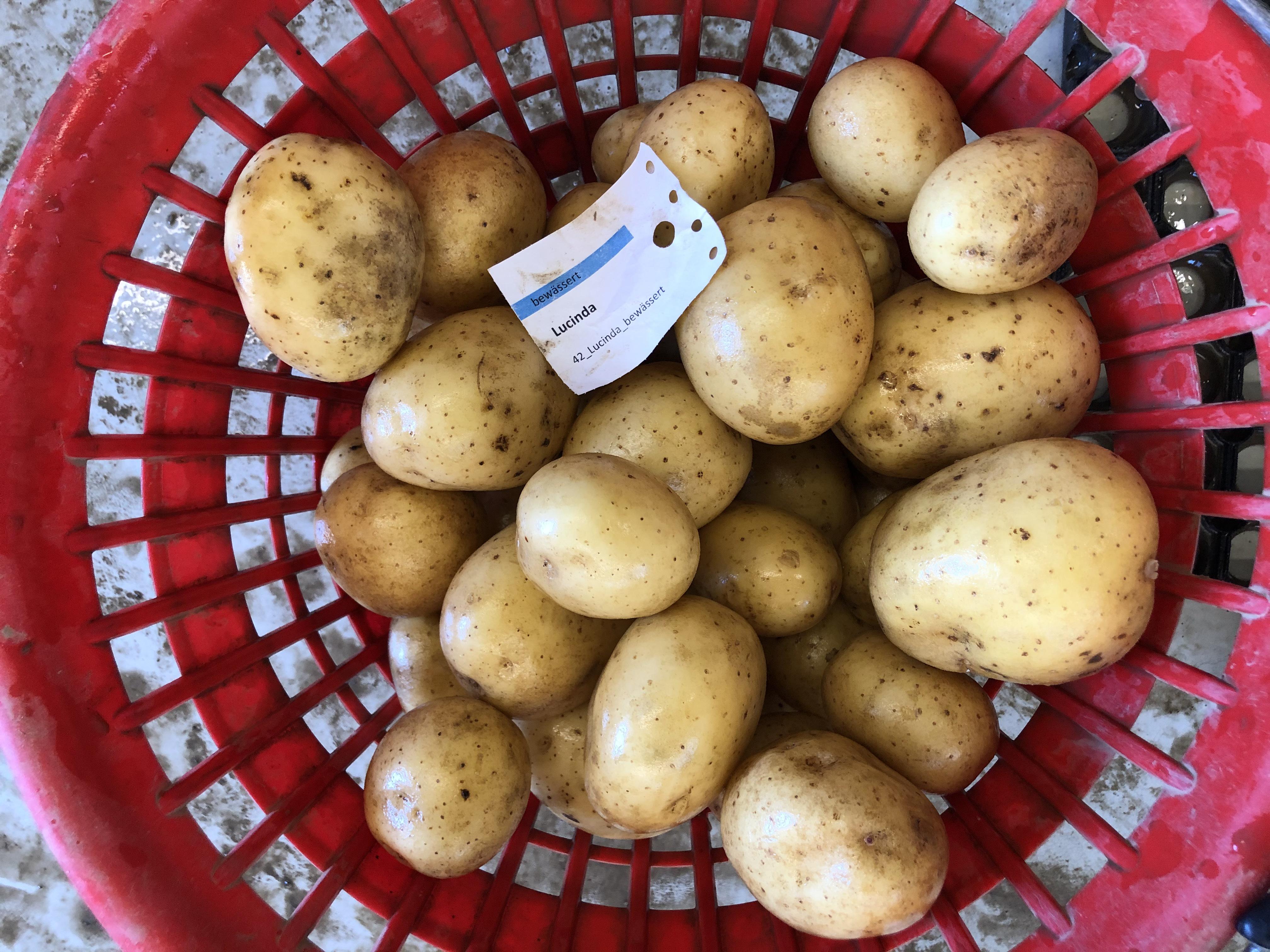 Waschprobe Sorte Lucinda, Sortenversuch Kartoffeln Humlikon 2020