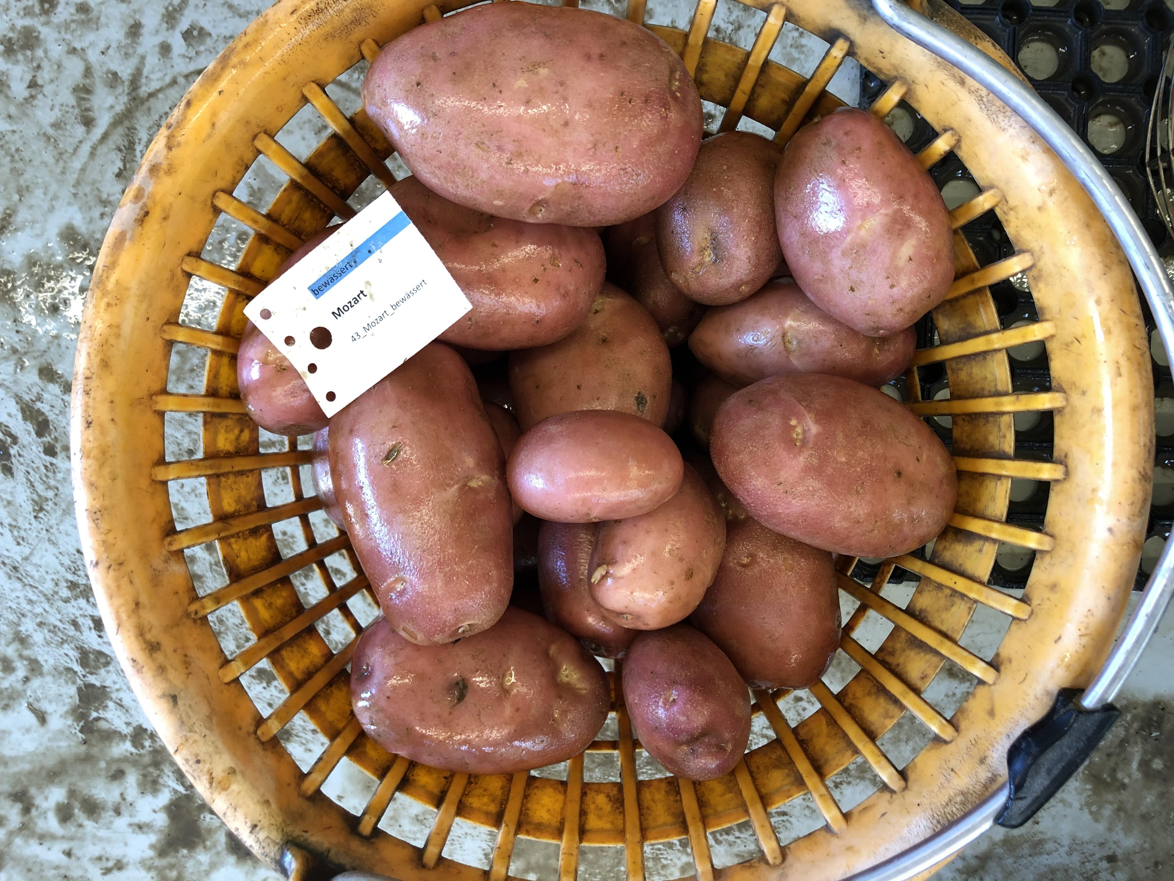 Waschprobe Sorte Mozart Kartoffel Sortenversuch Humlikon 2020