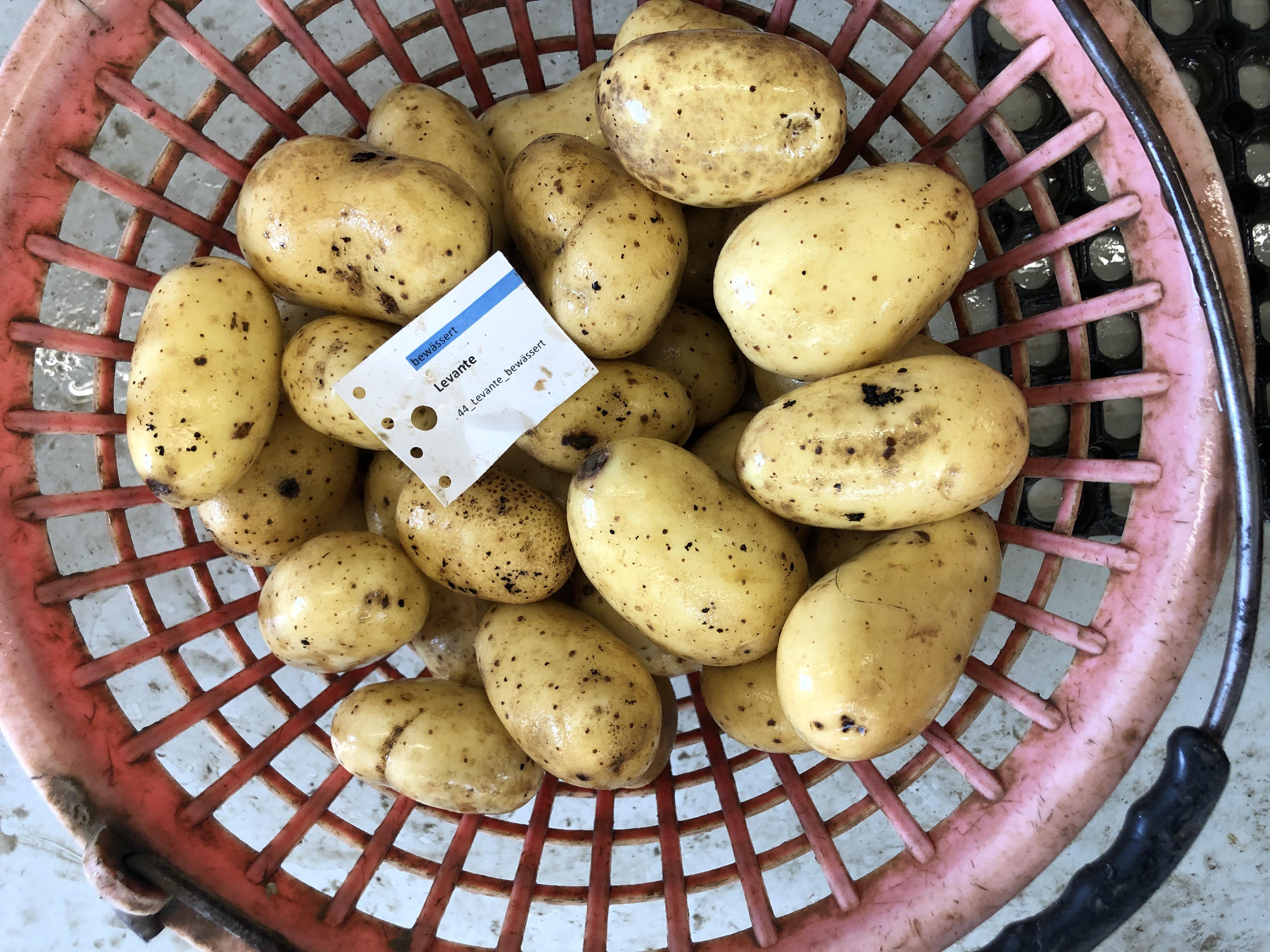 Waschprobe Sorte Levante, Sortenversuch Kartoffeln, Humlikon 2020