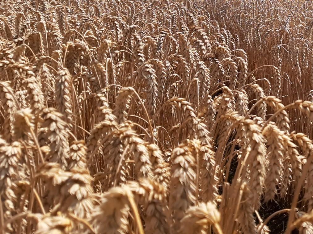reife Weizen