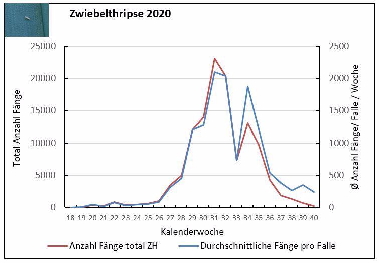 Entwicklung der Zwiebelthripspopulation im Jahr 2020