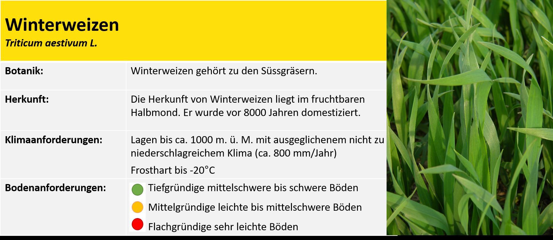 Allgemeine Infos Weizen