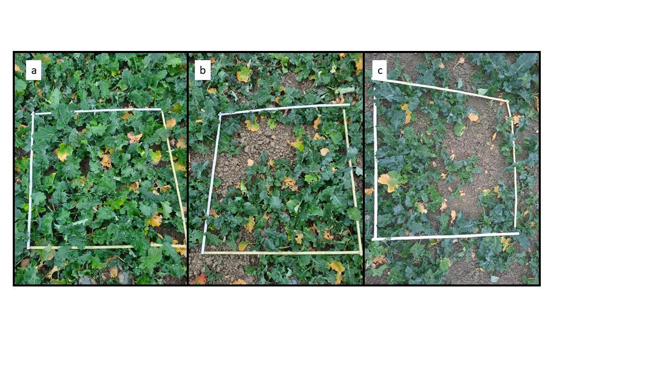 Abbildung 5. Bestandesdichteerhebung im Feld, a) Pyrethroid; b) Produkt A; c) Kontrolle.