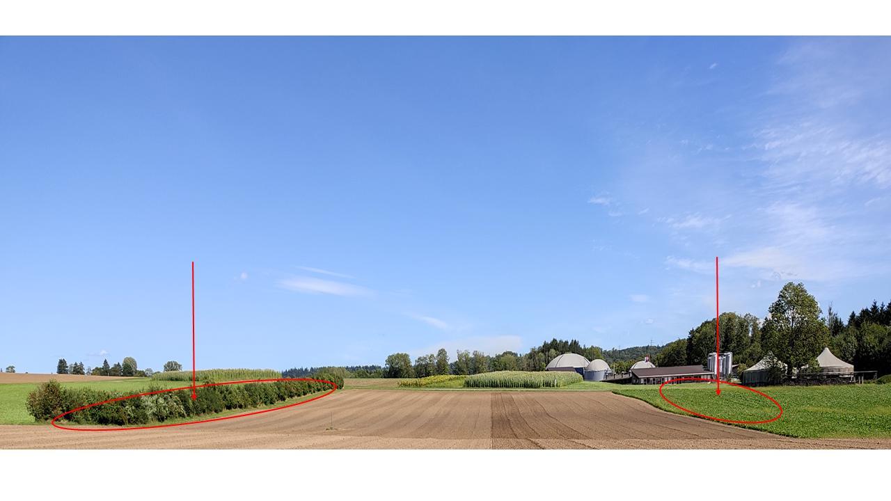 Abbildung 3. Sicht auf das Versuchsfeld, Hecke und Gründüngung an den Feldrändern sind mit roten Pfeil signalisiert.