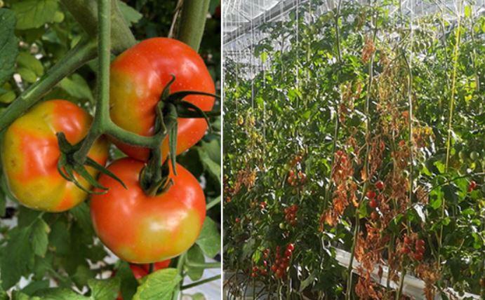 Das Jordanvirus bedroht die einheimische Tomatenproduktion, da die Früchte nicht mehr zum Verkauf geeignet sind.