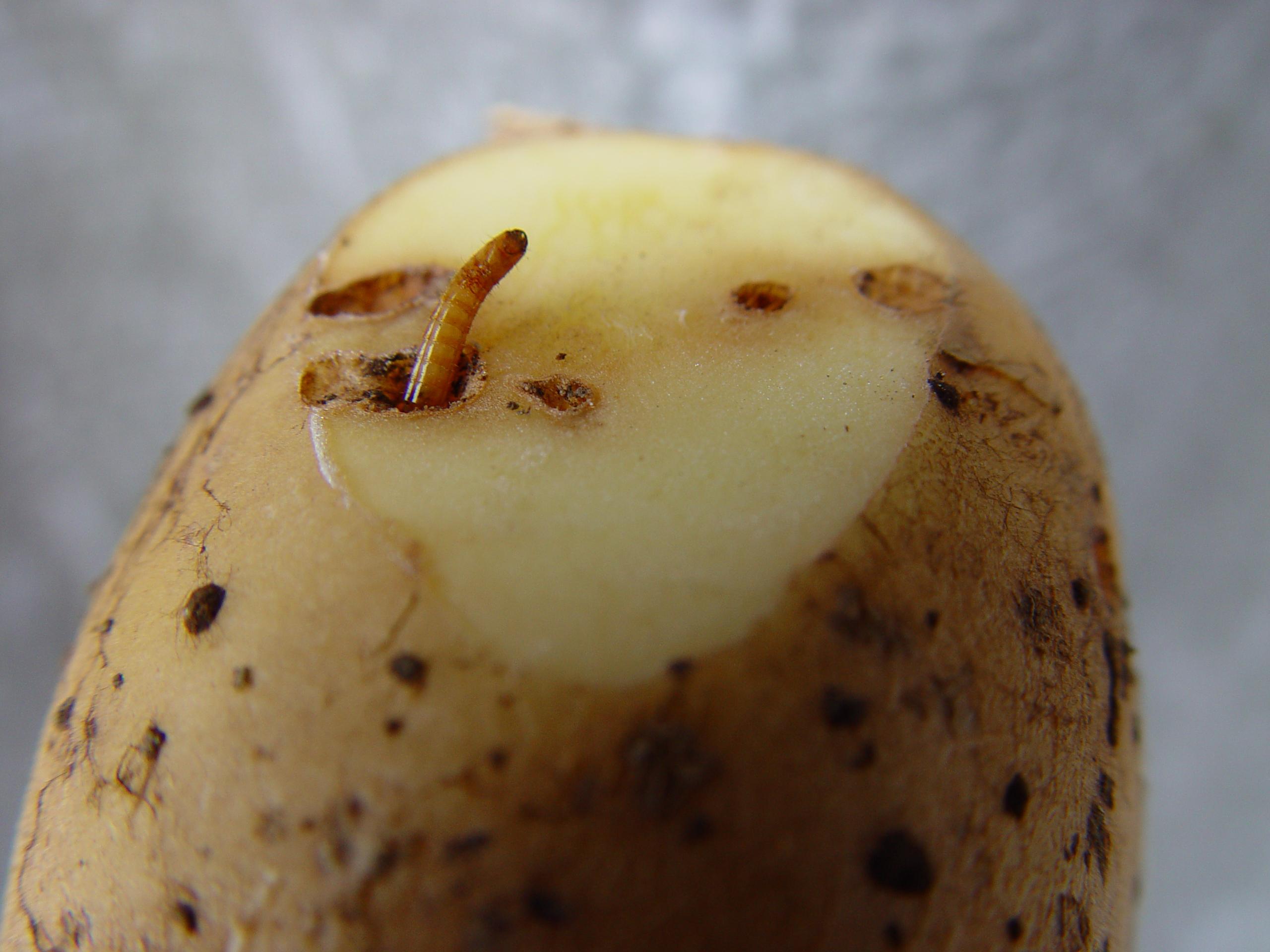Ein Drahtwurm schaut zu einer Kartoffelknolle heraus. Dies ist ein qualitatives Problem. Die Kartoffeln können so nicht mehr verkauft werden.