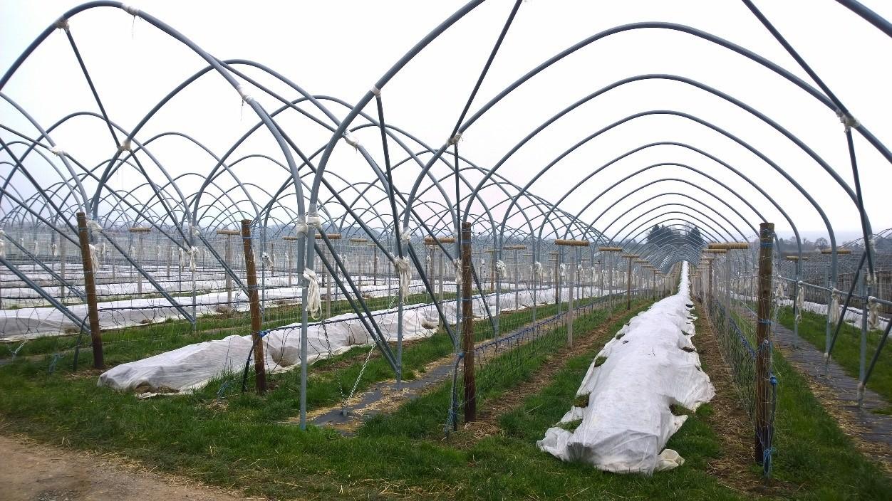 Strauchbeeren Frostschutz