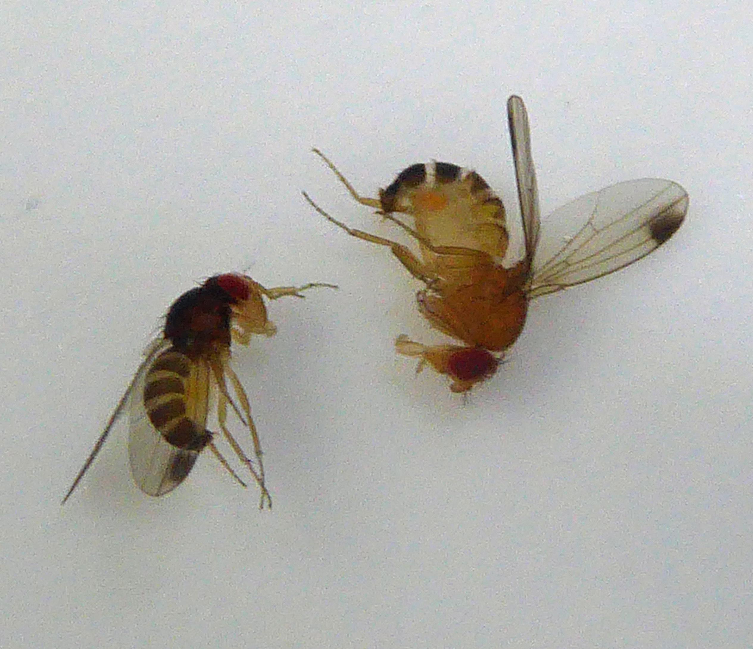 Kirschessigfliegen Männchen