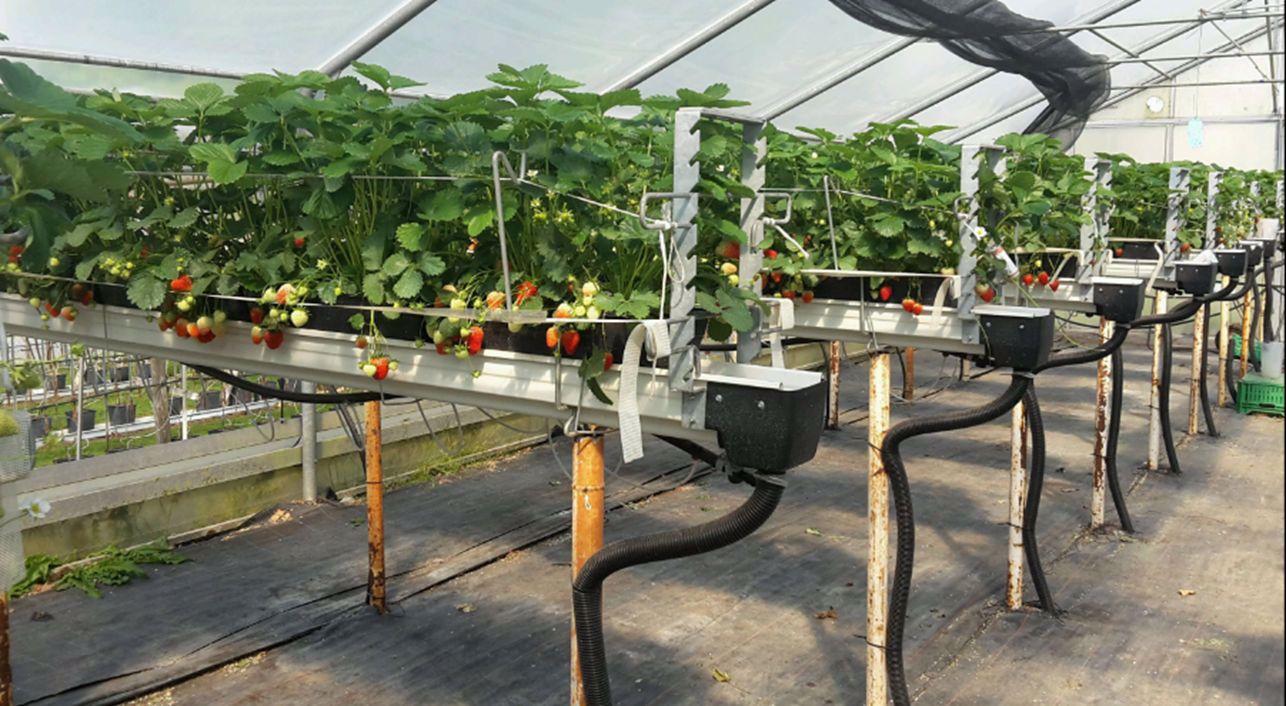 remontierende Erdbeersorten in Güttingen, Versuche