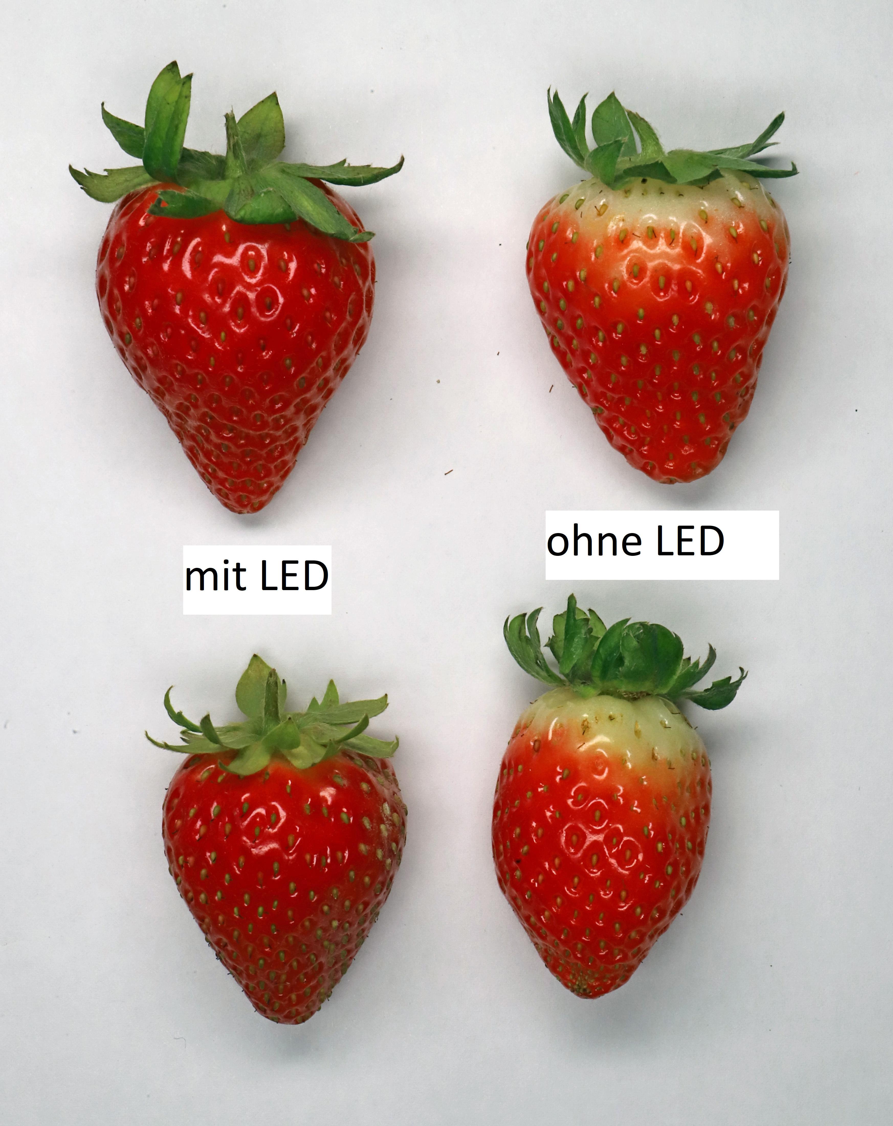 Einfluss LED Erdbeeren