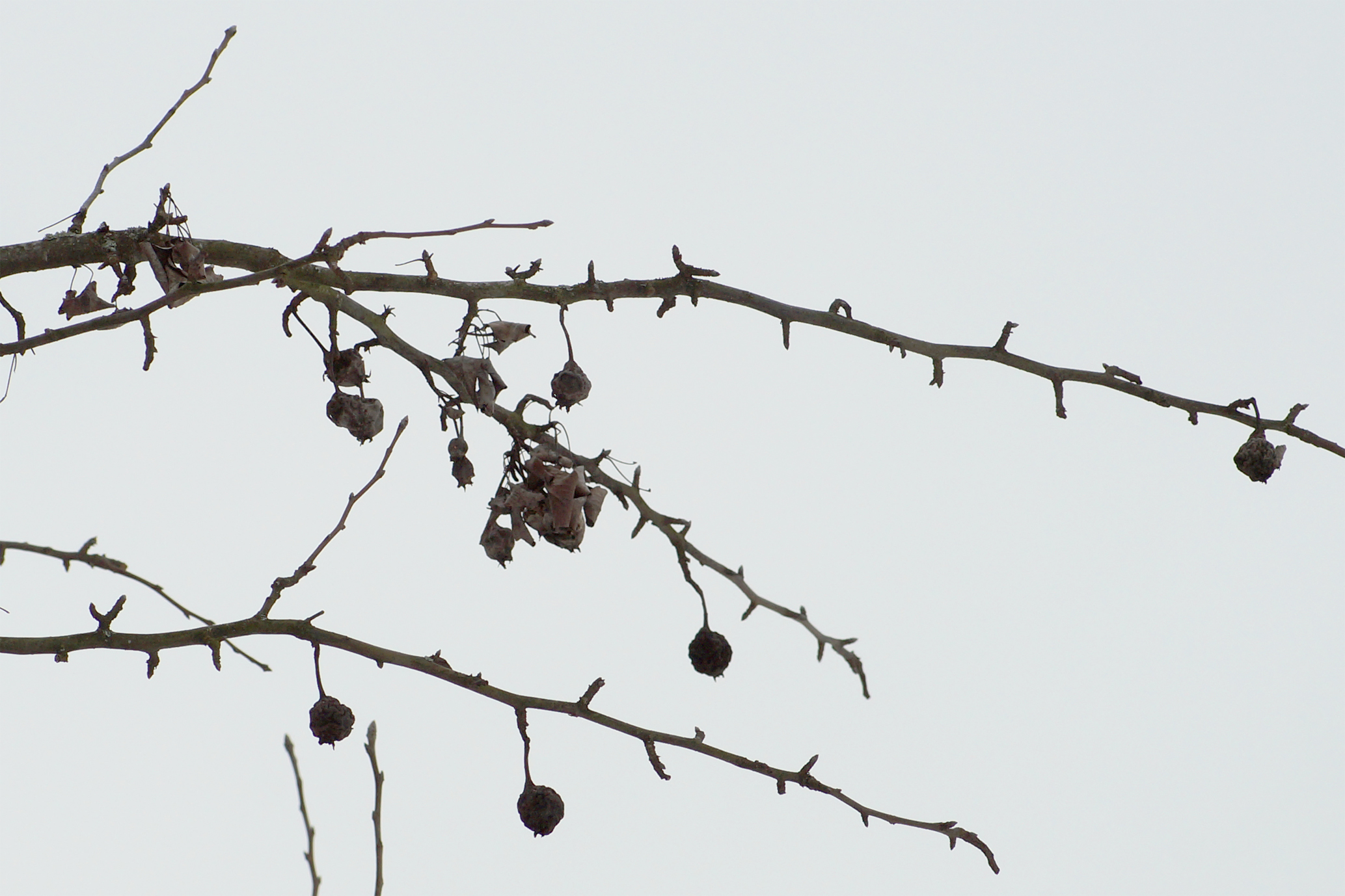Feuerbrandbefall Birne im Winter
