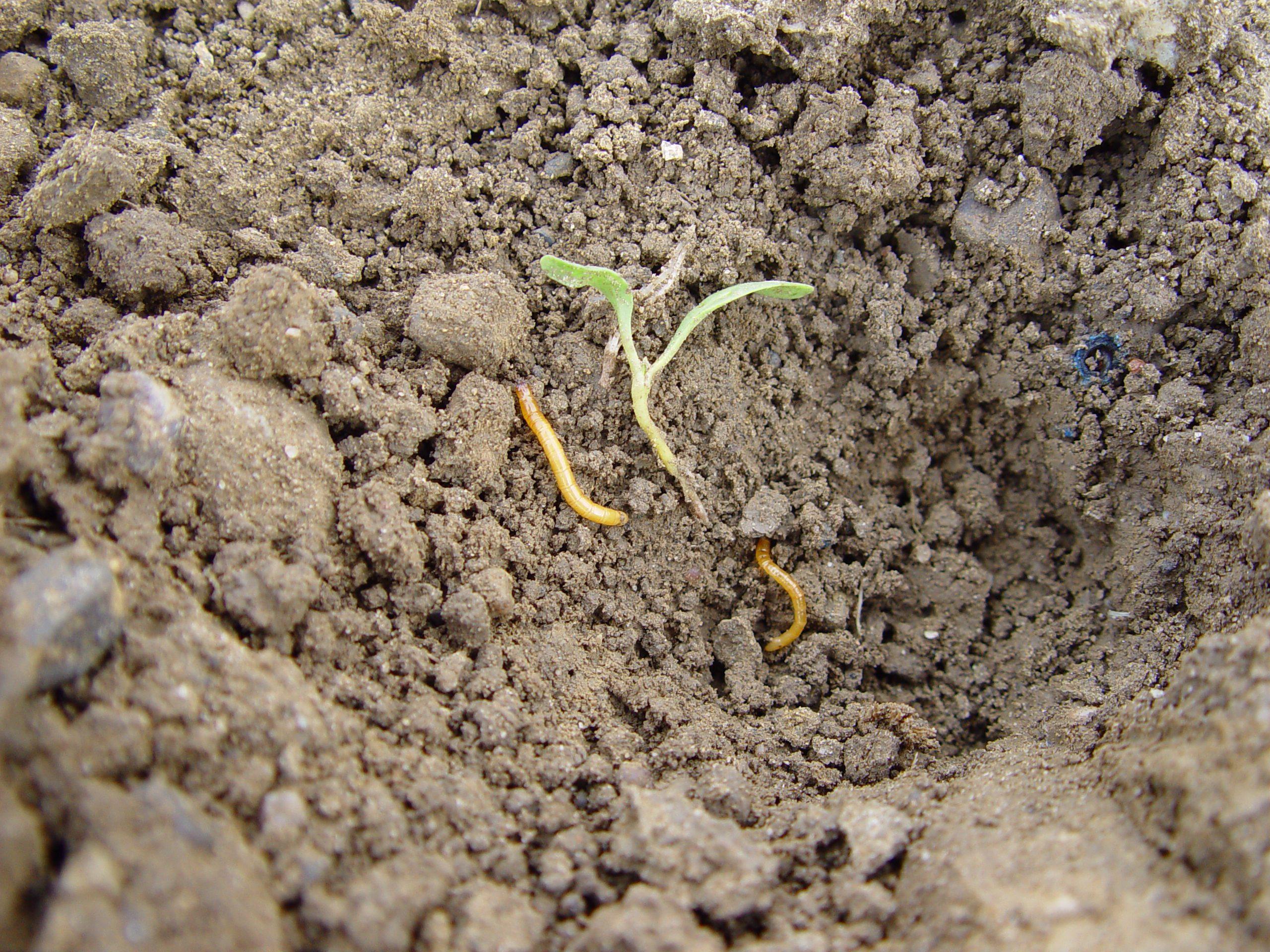 Drahtwürmer nach Wiesenumbruch in Rüben