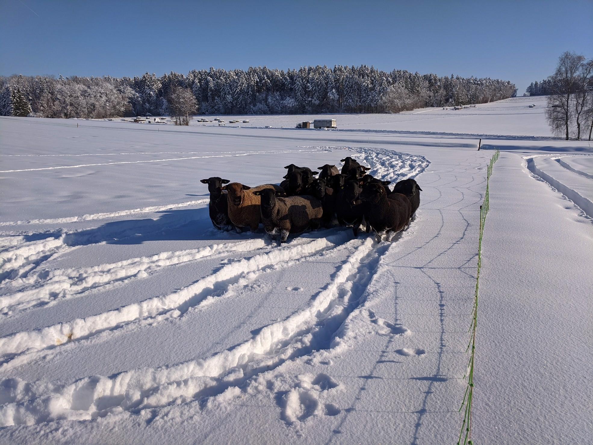 Schafe im Tiefschnee. Quelle M. Siegrist