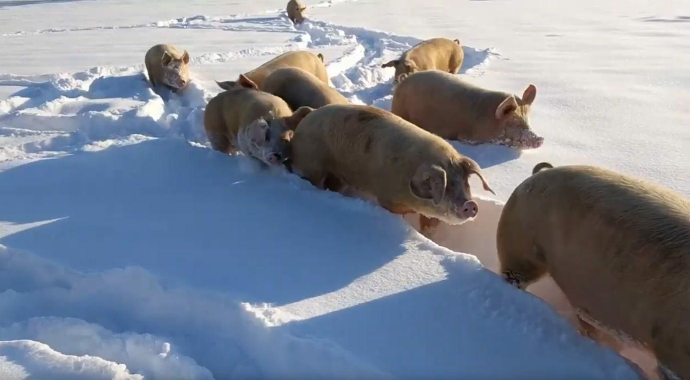 Schweine im Tiefschnee. Quelle M. Siegrist