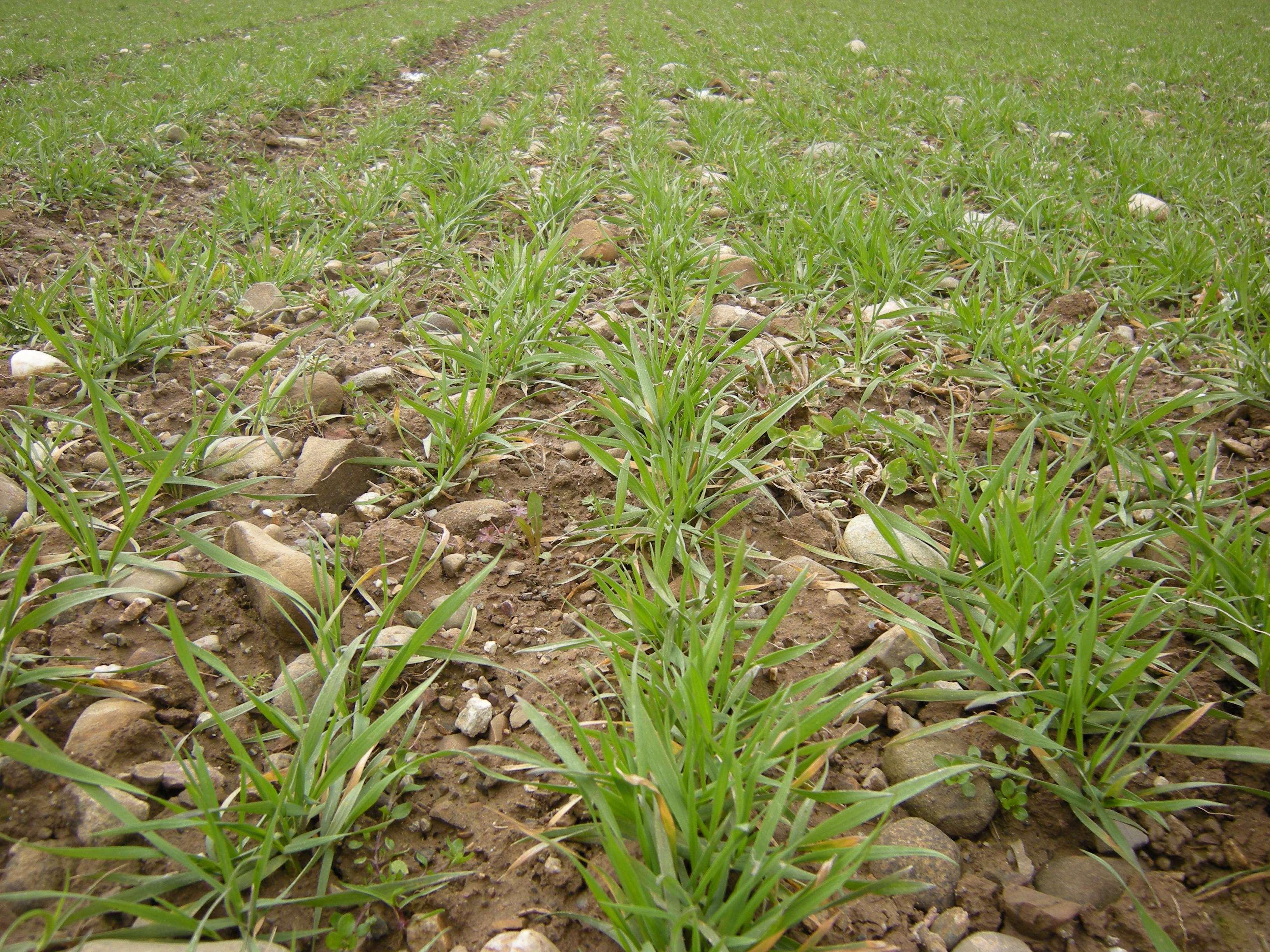 Getreide Bestockungsphase im März