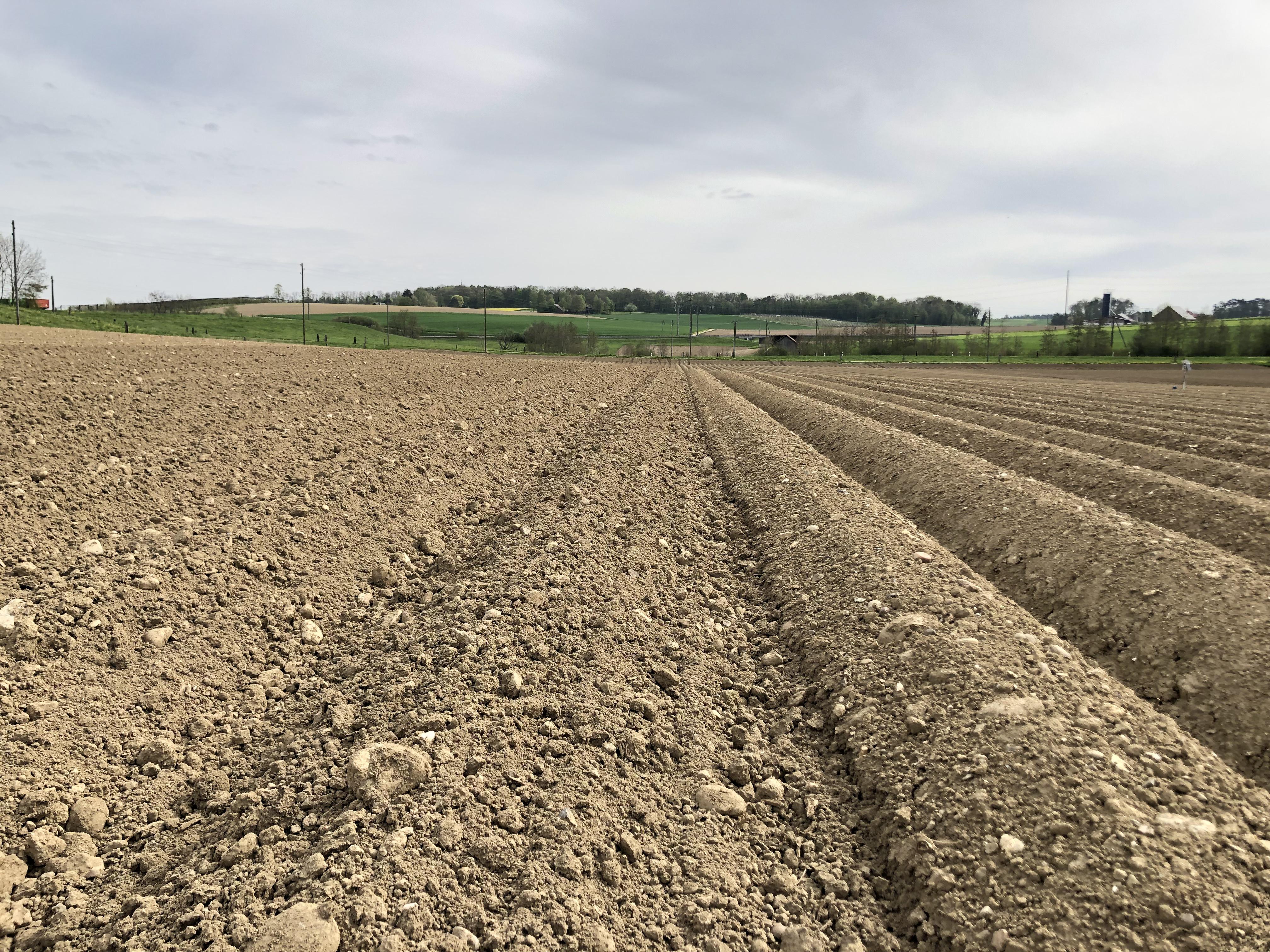 Vergleich Kartoffeldämme geformt und blind gestriegelt. 2019, Humlikon