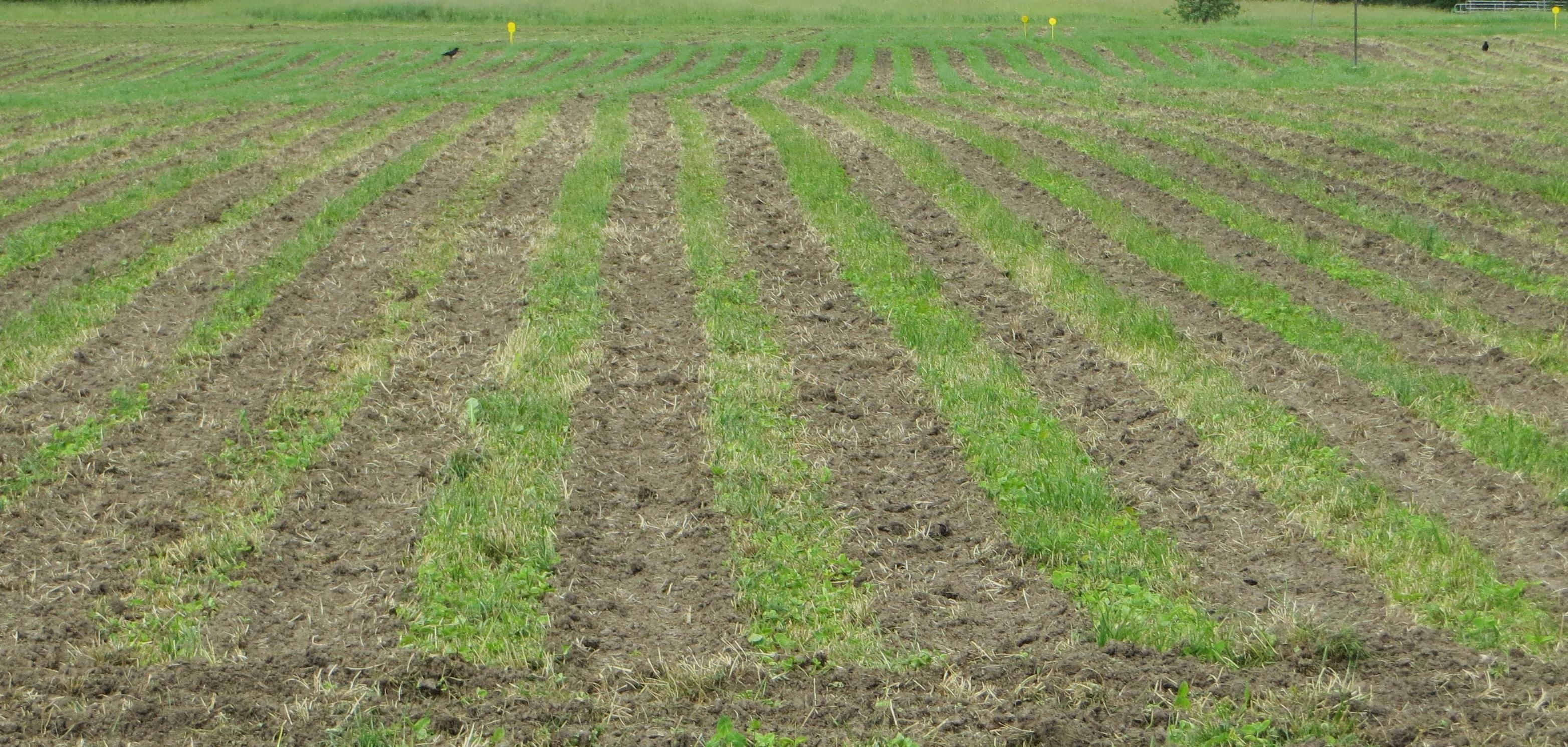 Streifenfrässsaat Mais